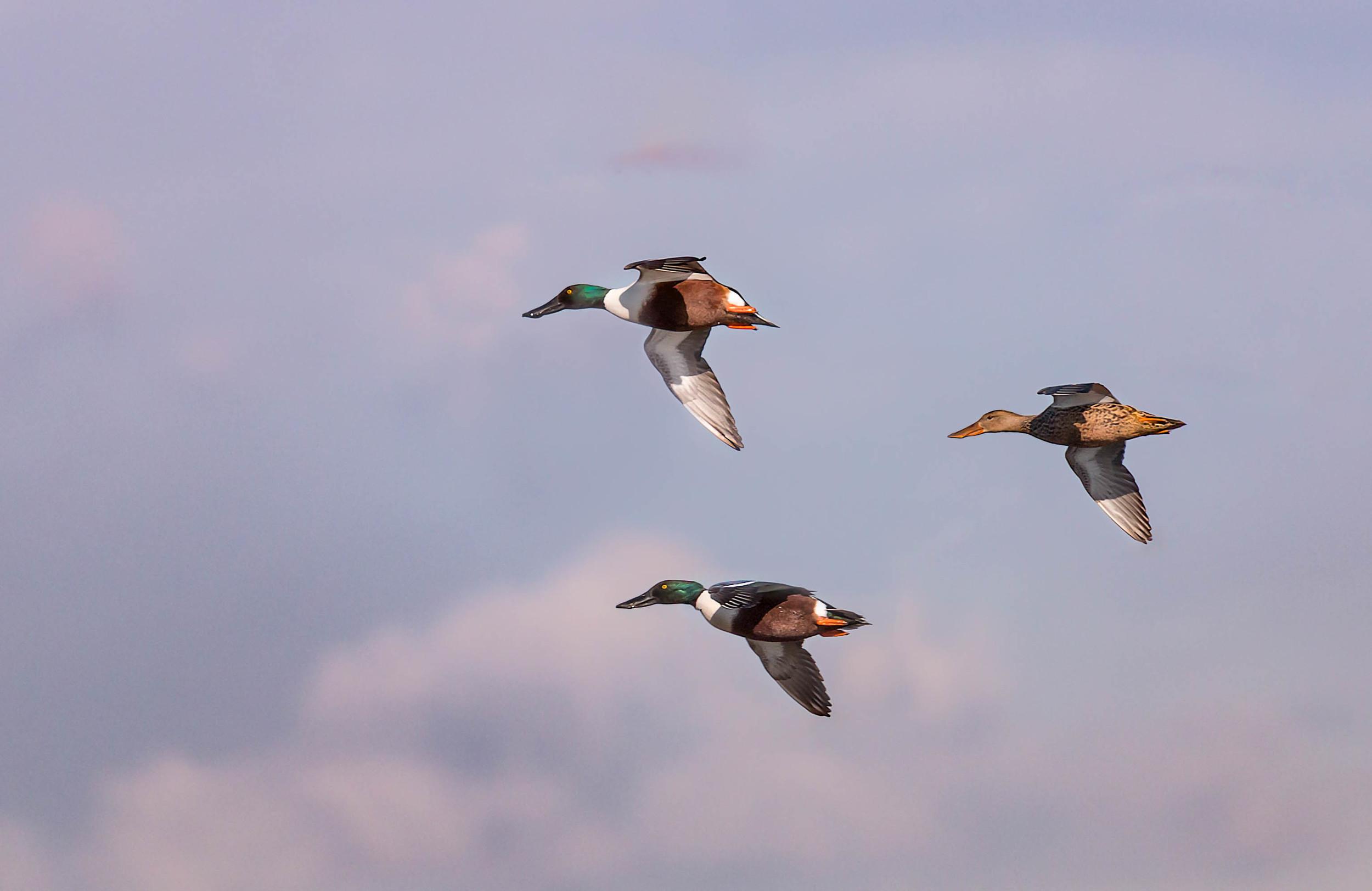 A trio of Shoveller ducks