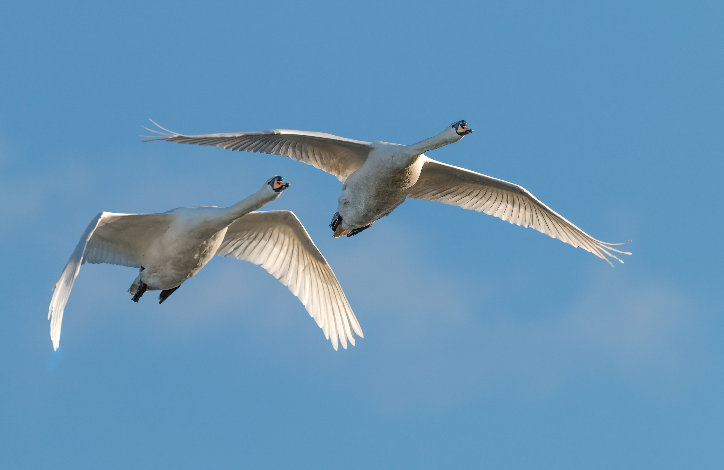 A pair of low flying Swans