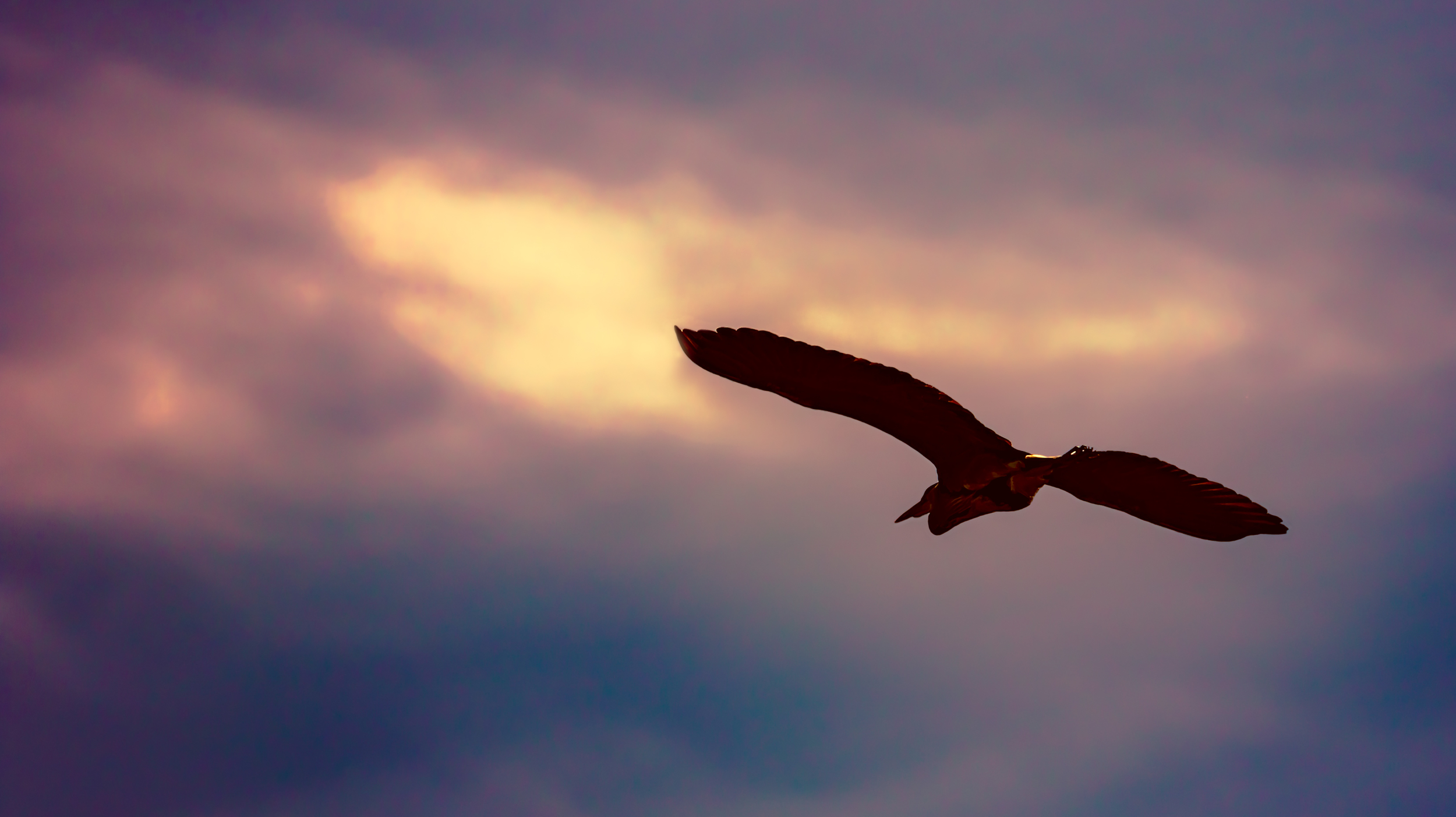 Heron flying towards the sunset