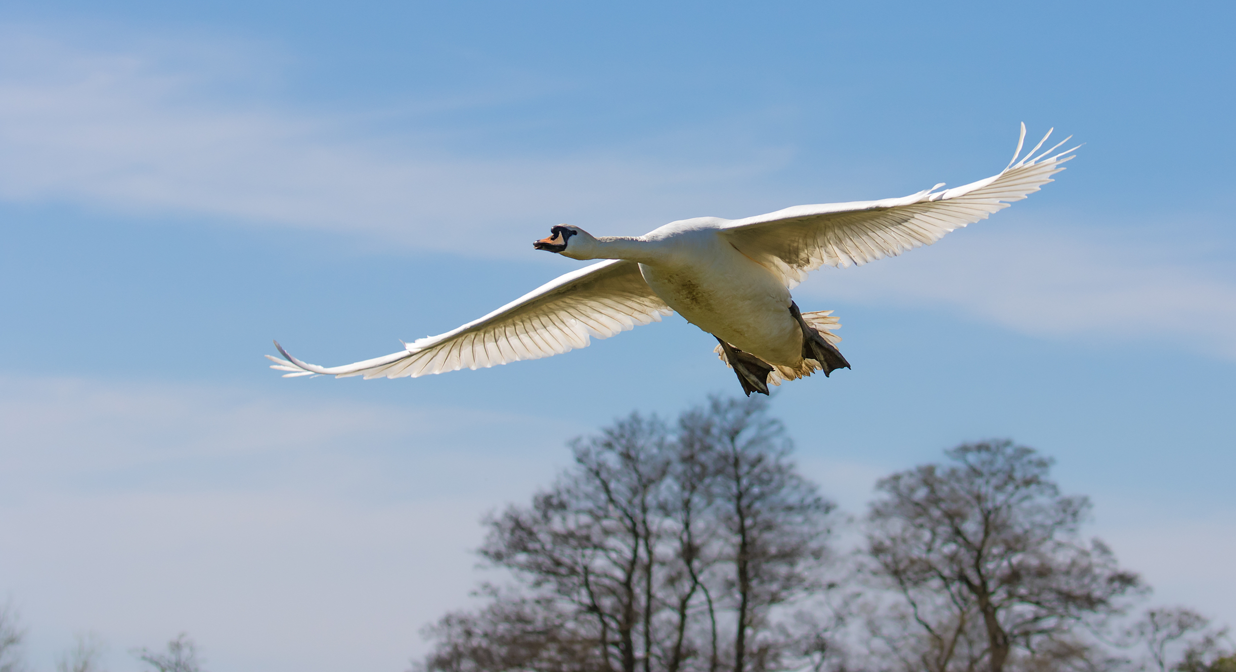 Swan ascent after take off