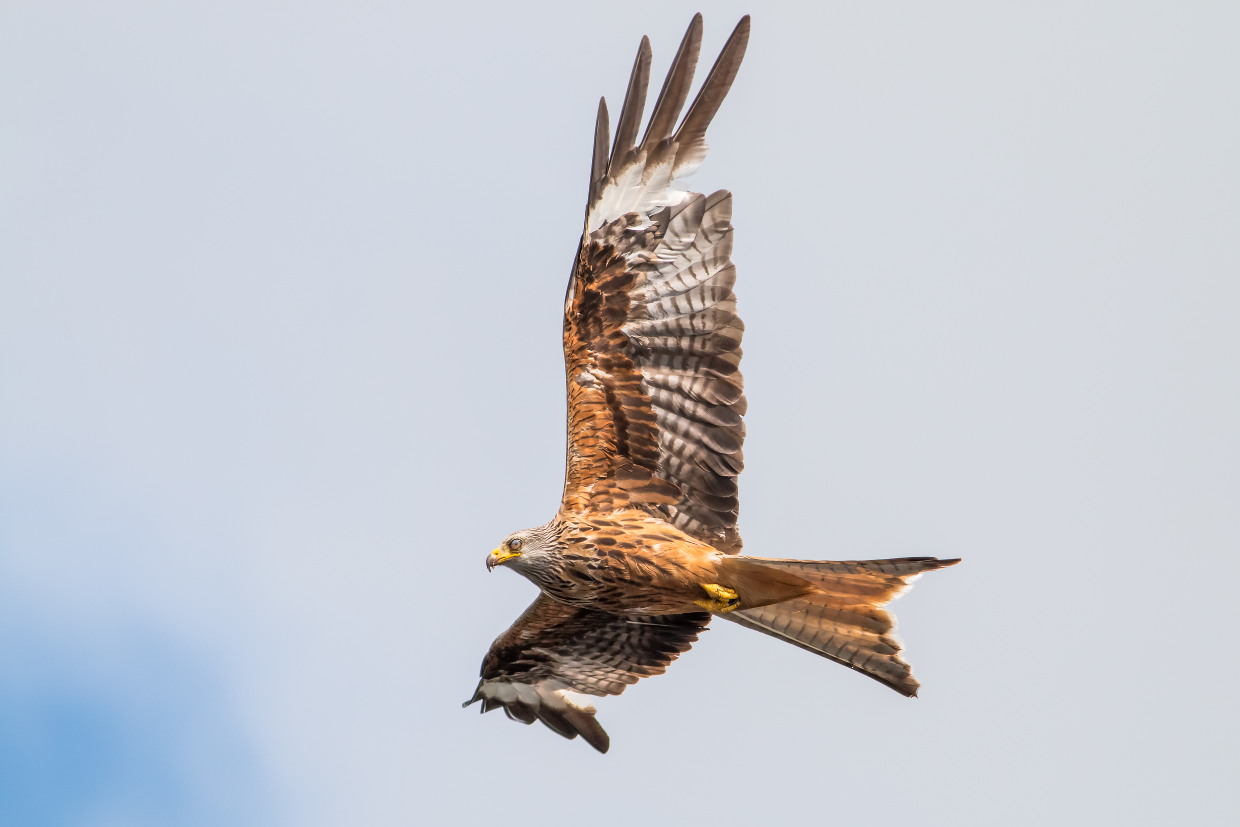 Close up of Red Kite flypast