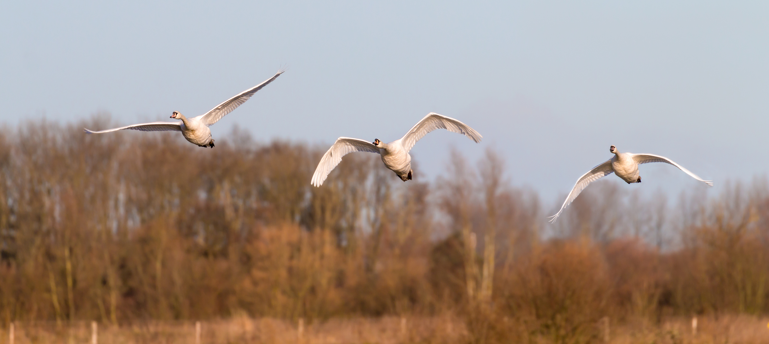 Trio of low flying Swans