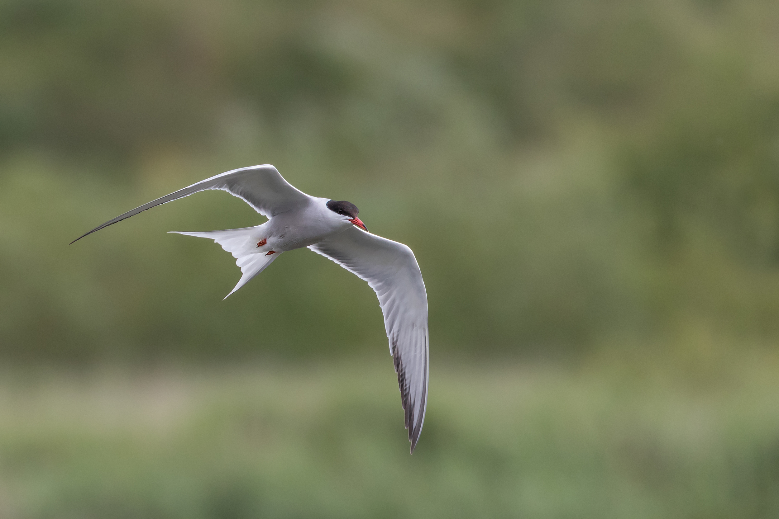 An oncoming Common Tern