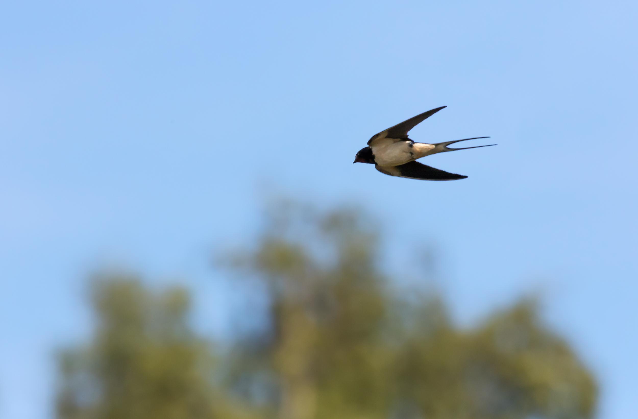 Streamlined Swallow flight