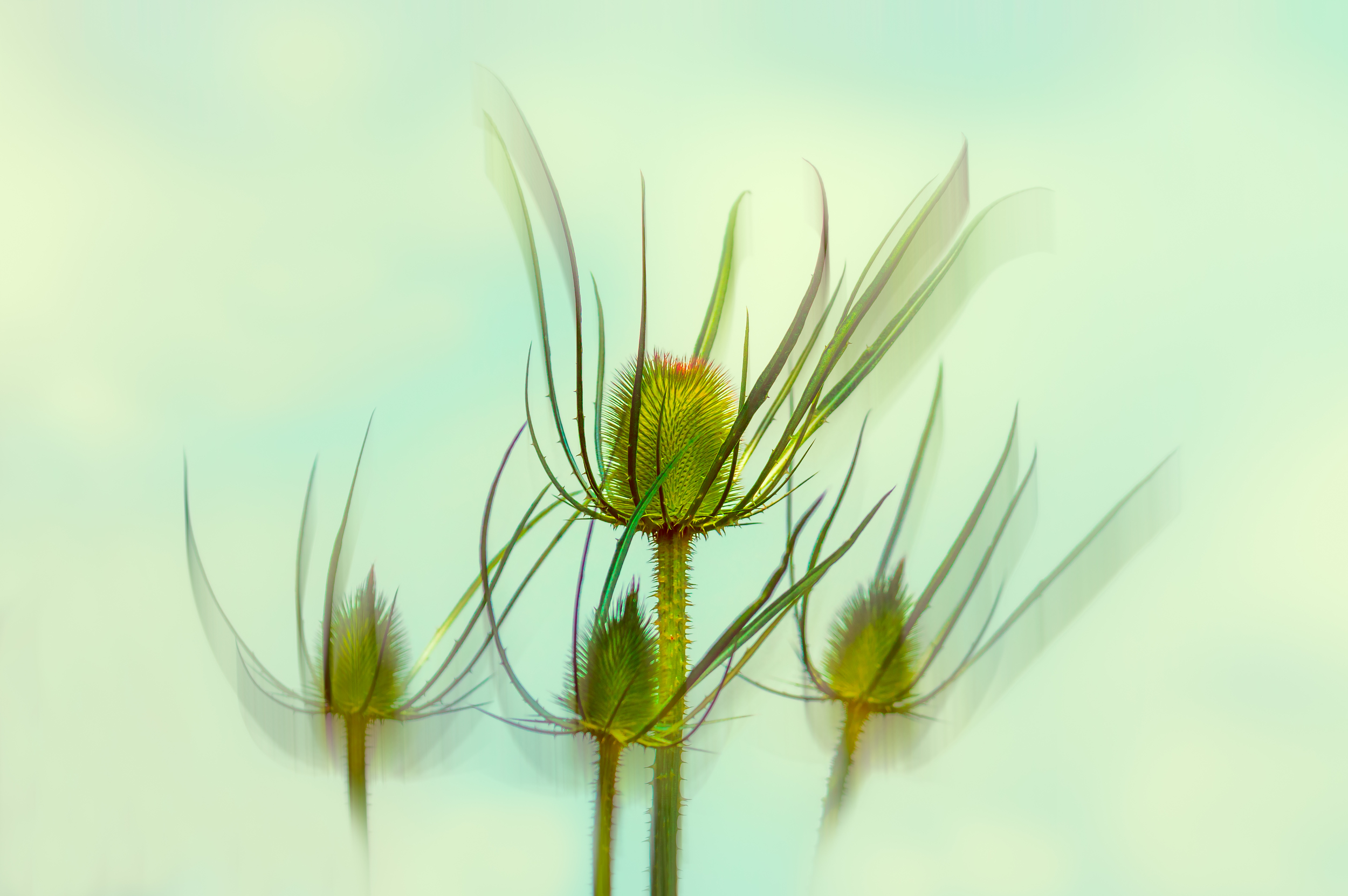 """Dancing Teasels"" (abstracted)"