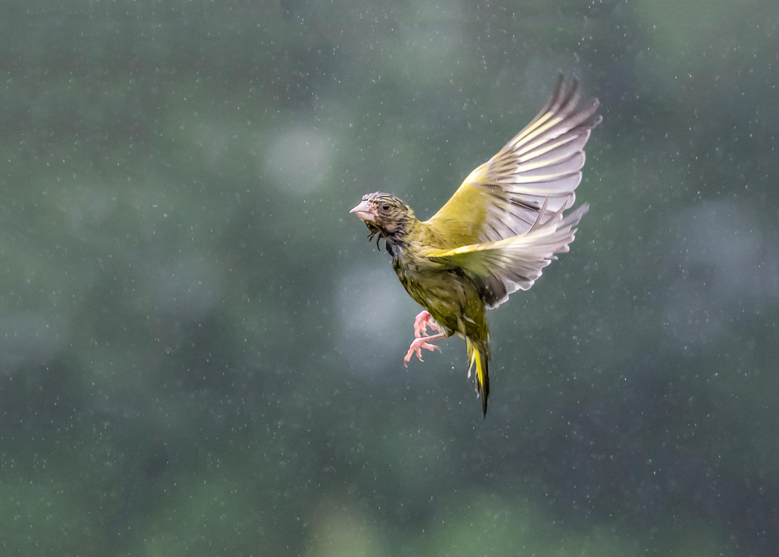A soaking wet Greenfinch!