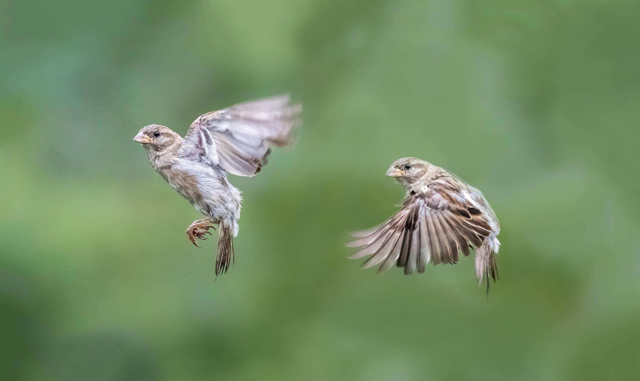 Sparrow flight