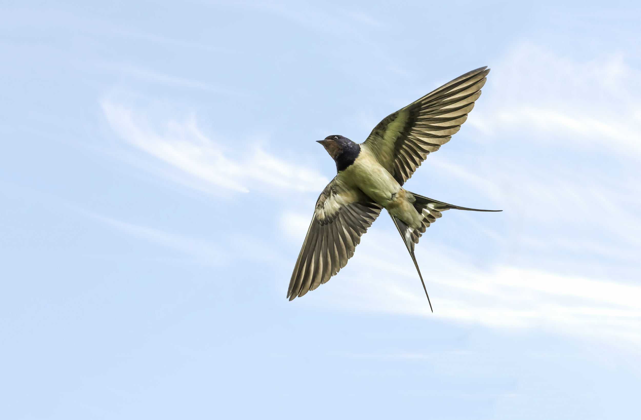 Close up of a Swallow!