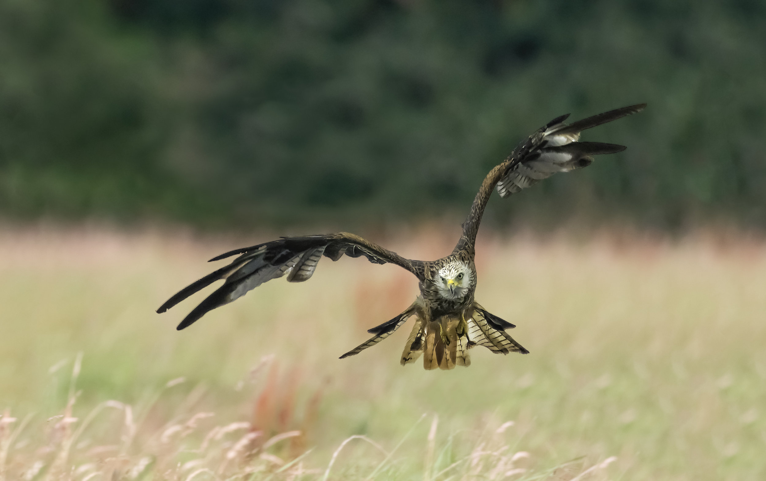 Red Kite over fields