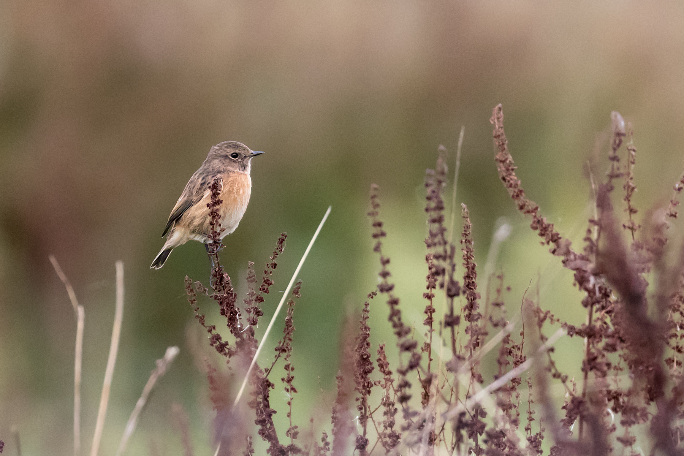 Female Stonechat (low quality image!)