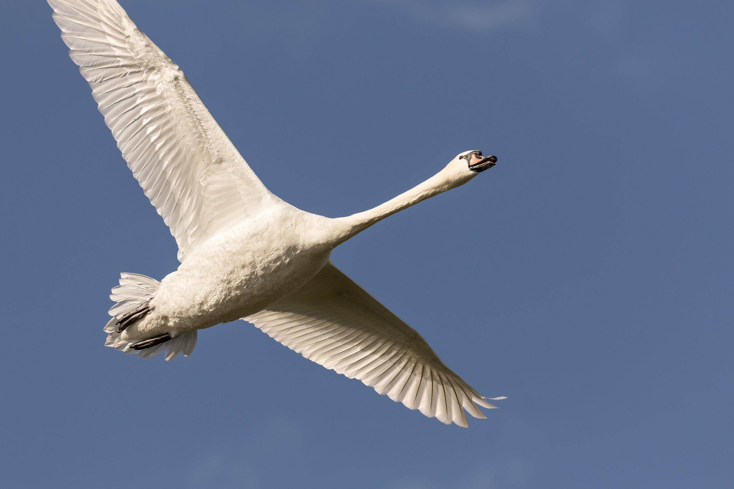Another low flying Swan!