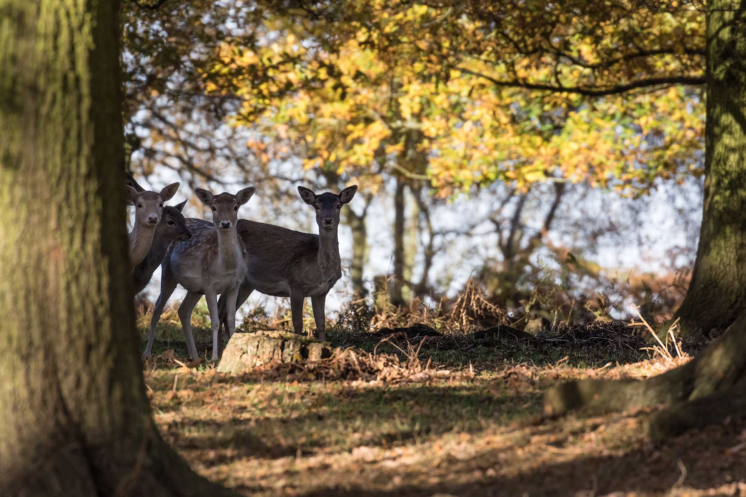 Shy but inquisitive Fallow Deer
