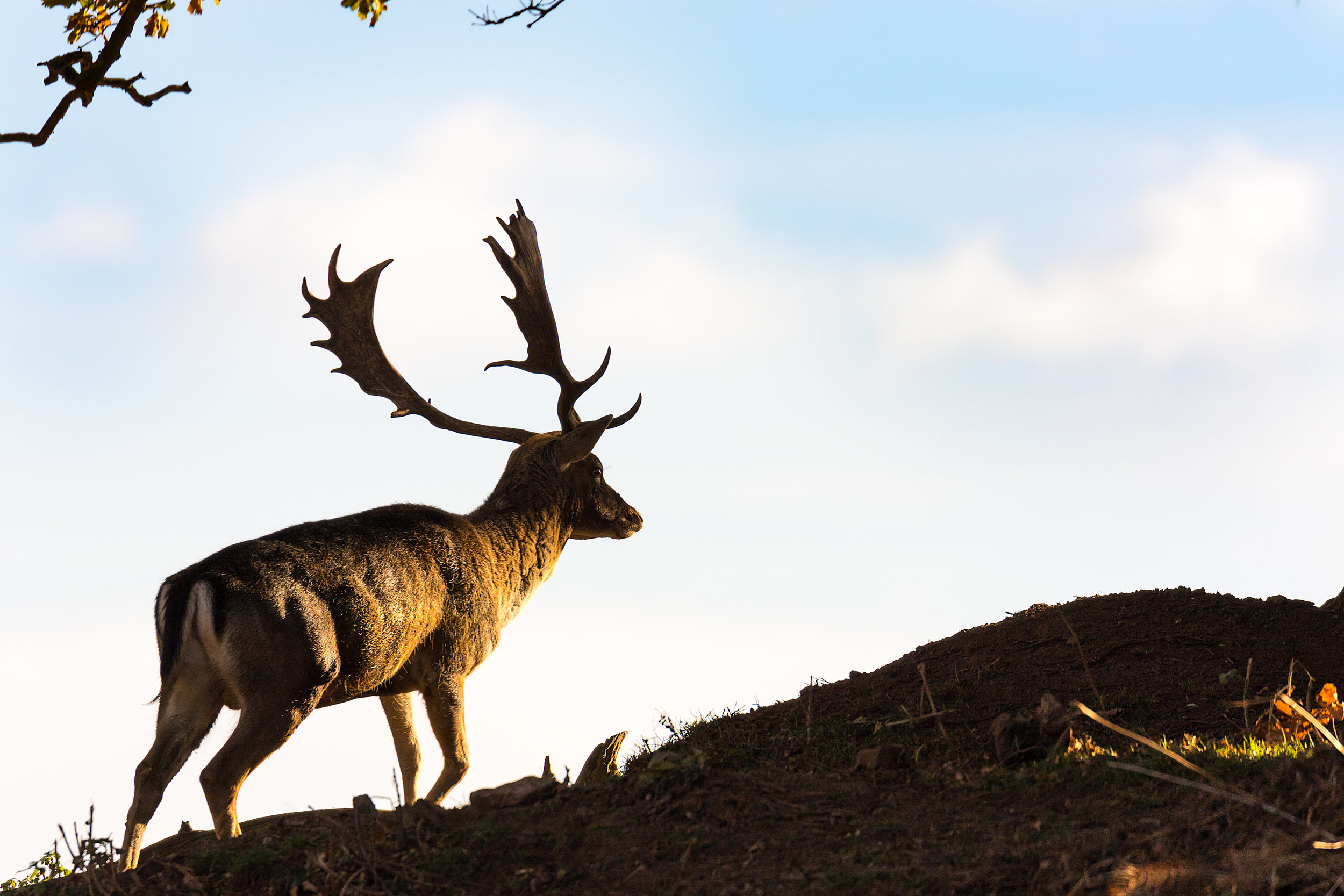 Red Deer stag in the autumn sunshine