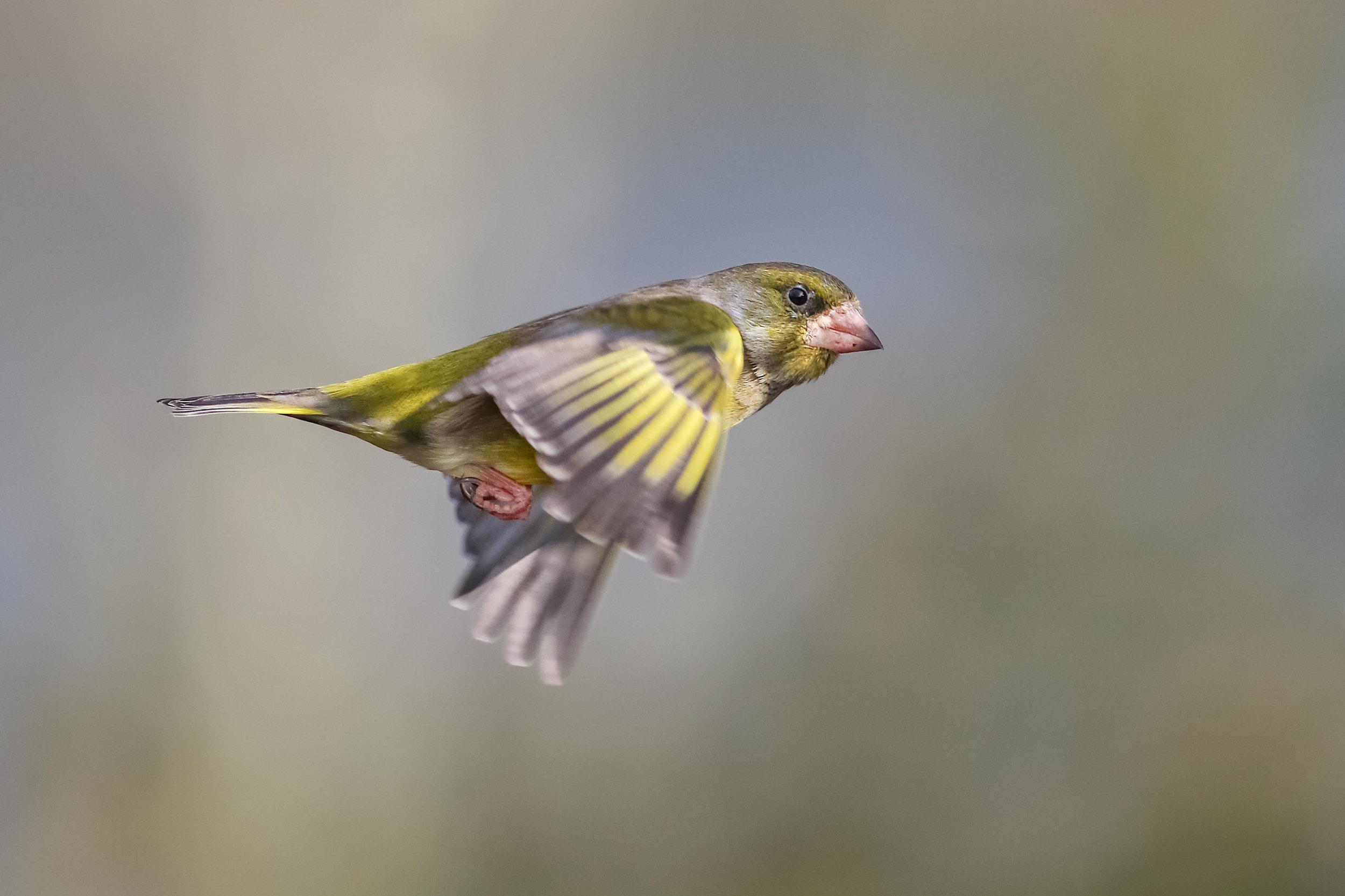 Greenfinch flypast
