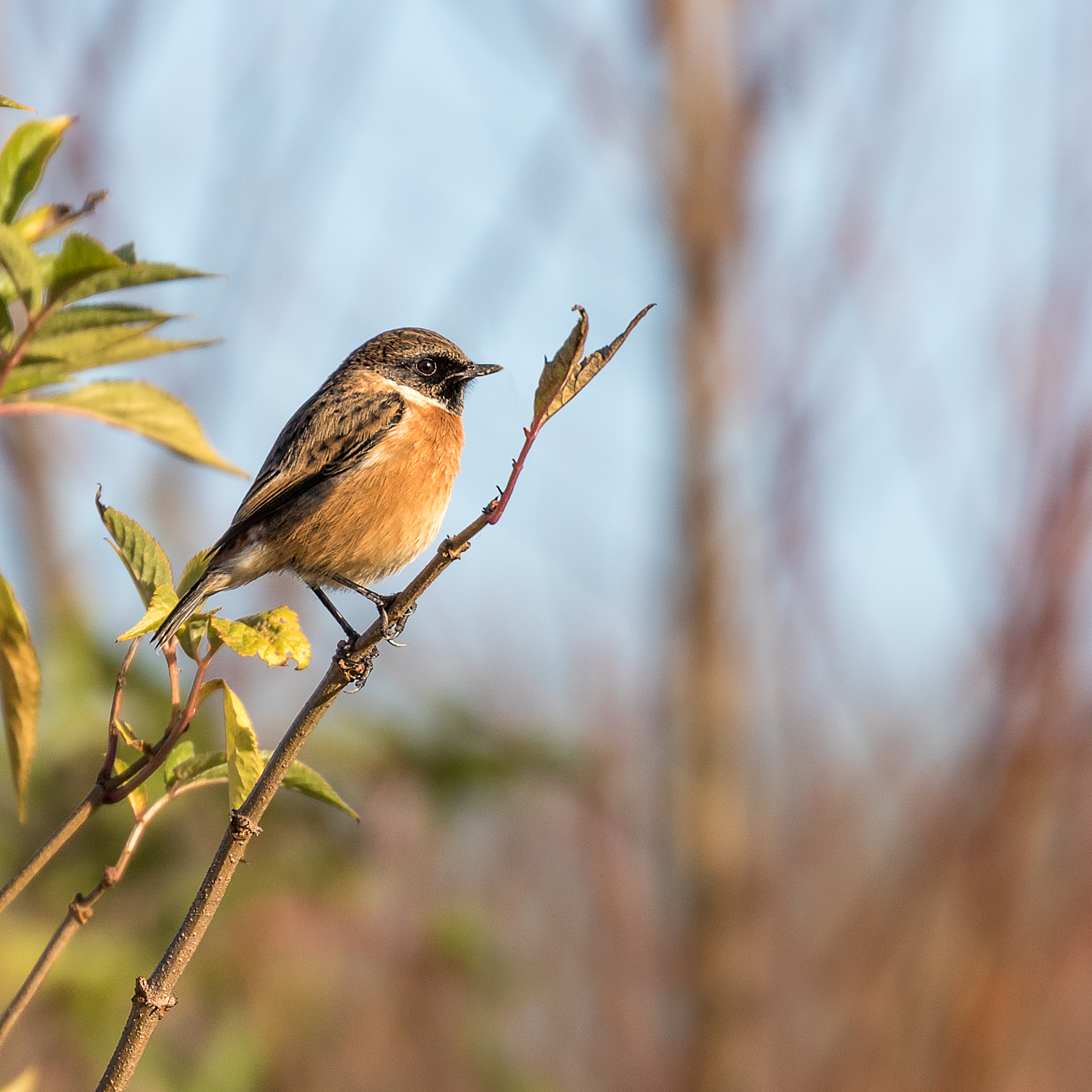 Male Stonechat portrait #1