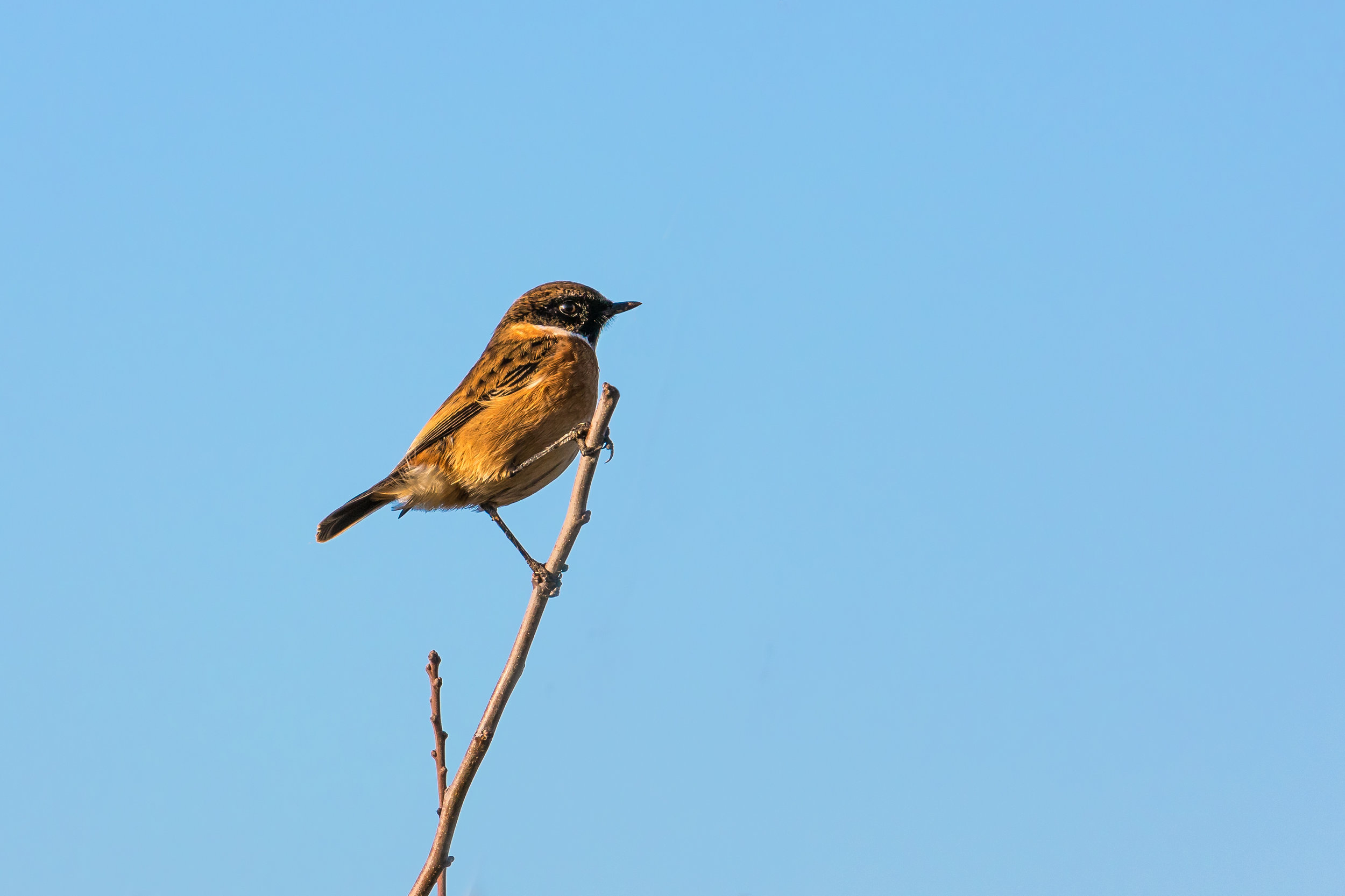 Male Stonechat portrait #2