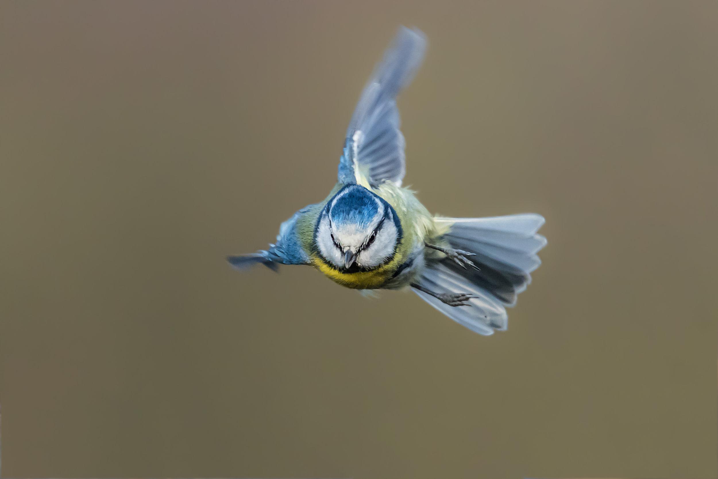 Blue Tit flight agility
