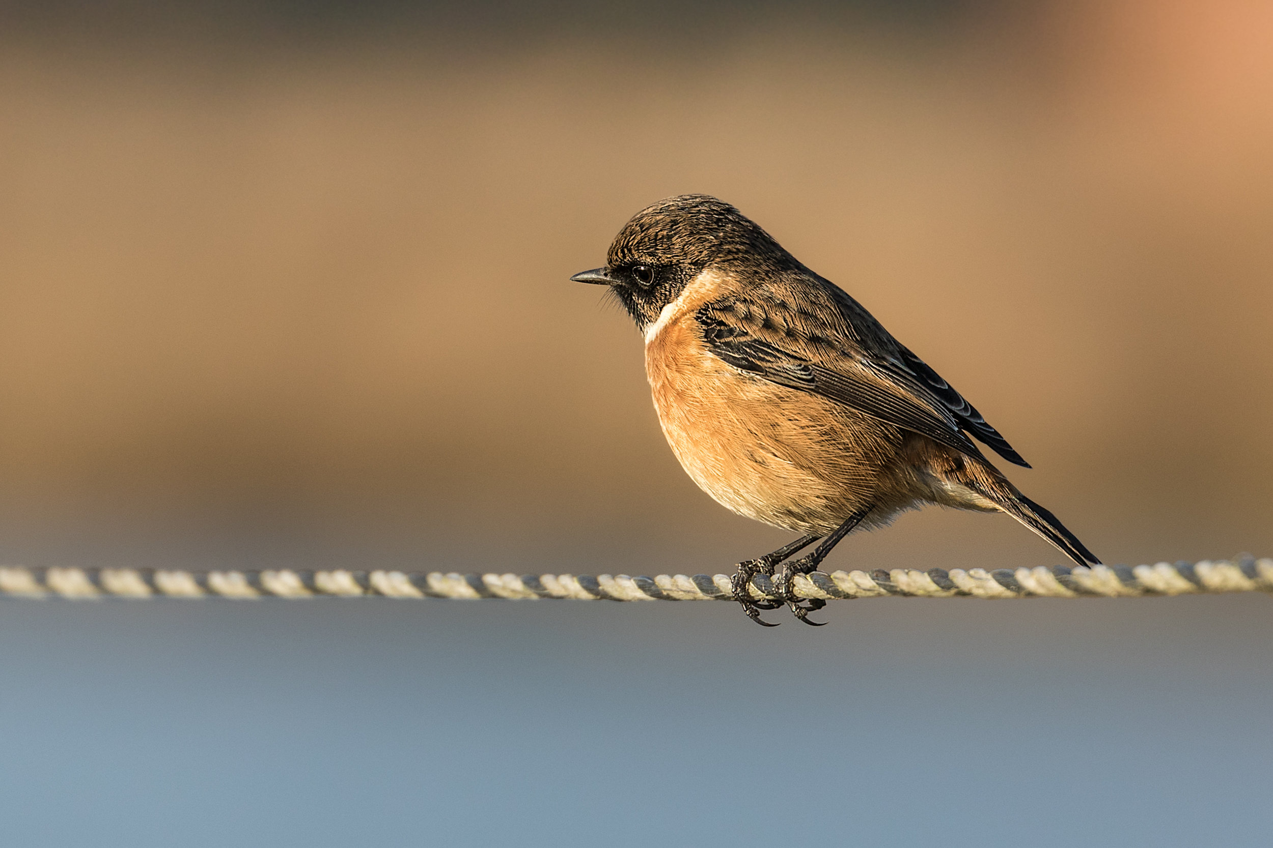 Male Stonechat portrait #3