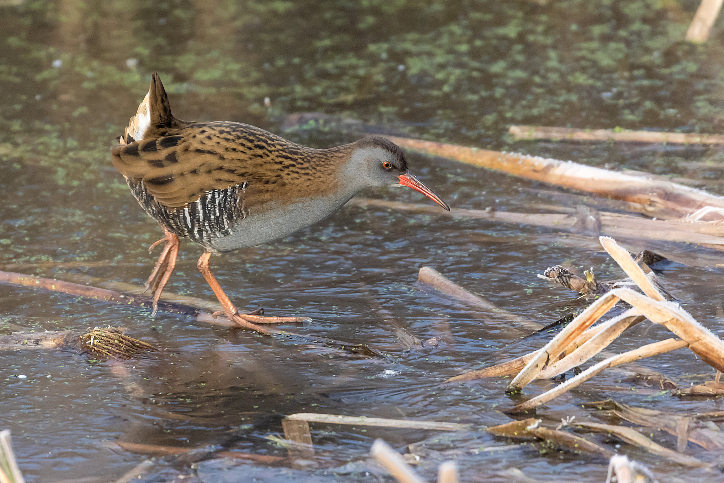 Water Rail at RSPB Middleton Lakes