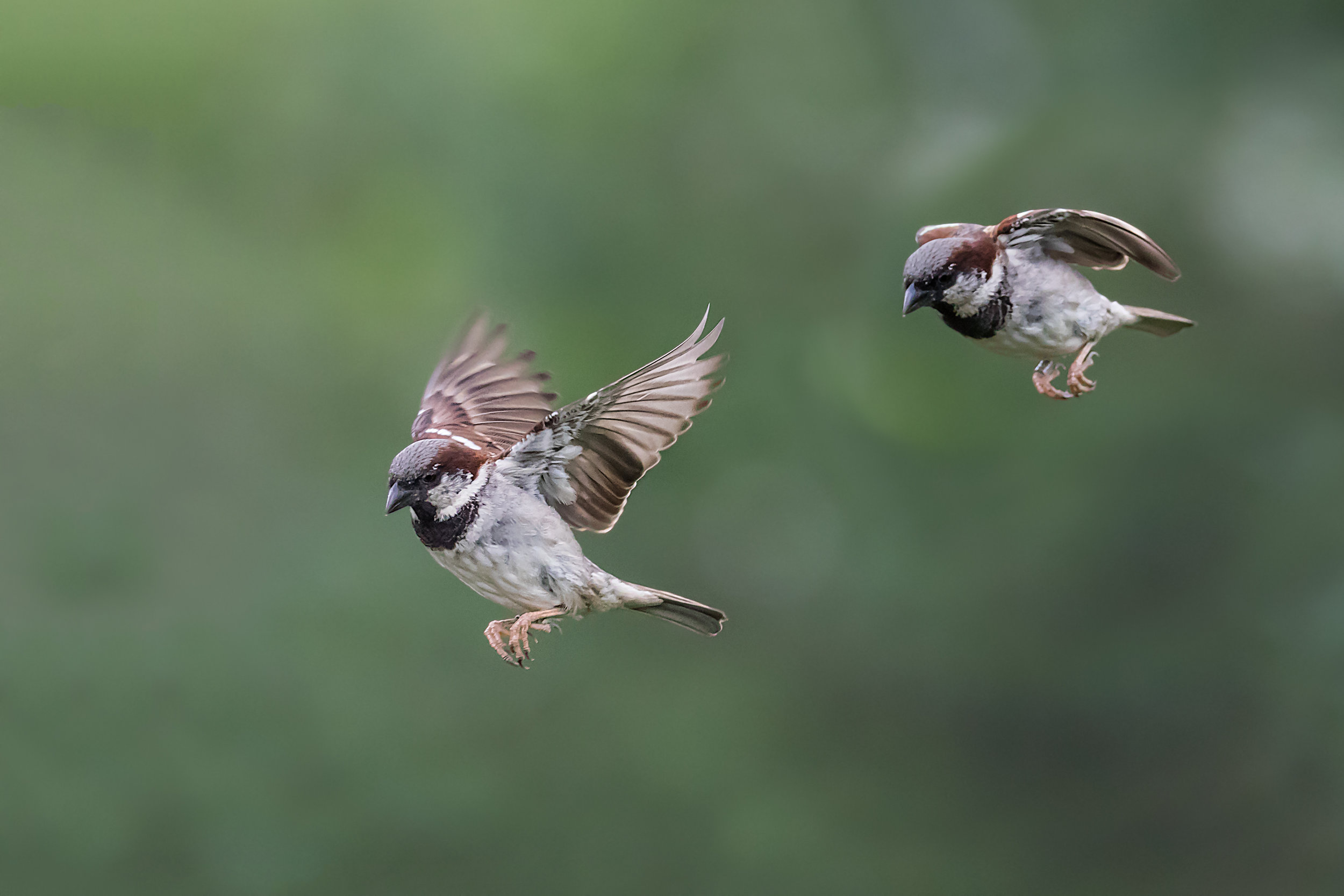 Male Sparrow flight path (composite)
