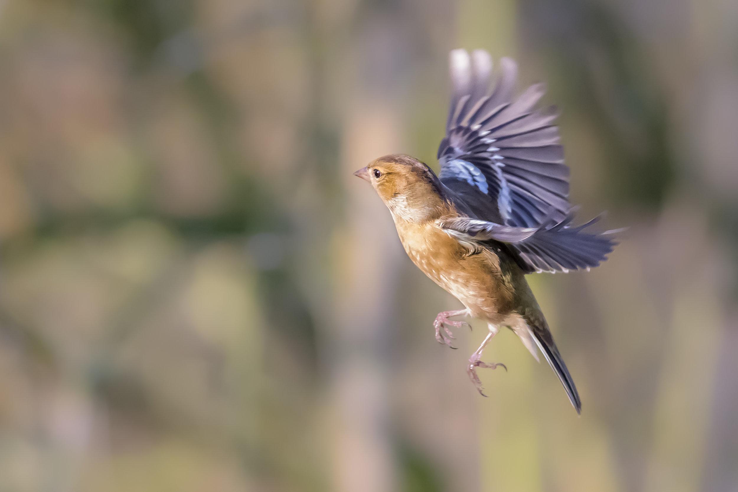 Chaffinch flight