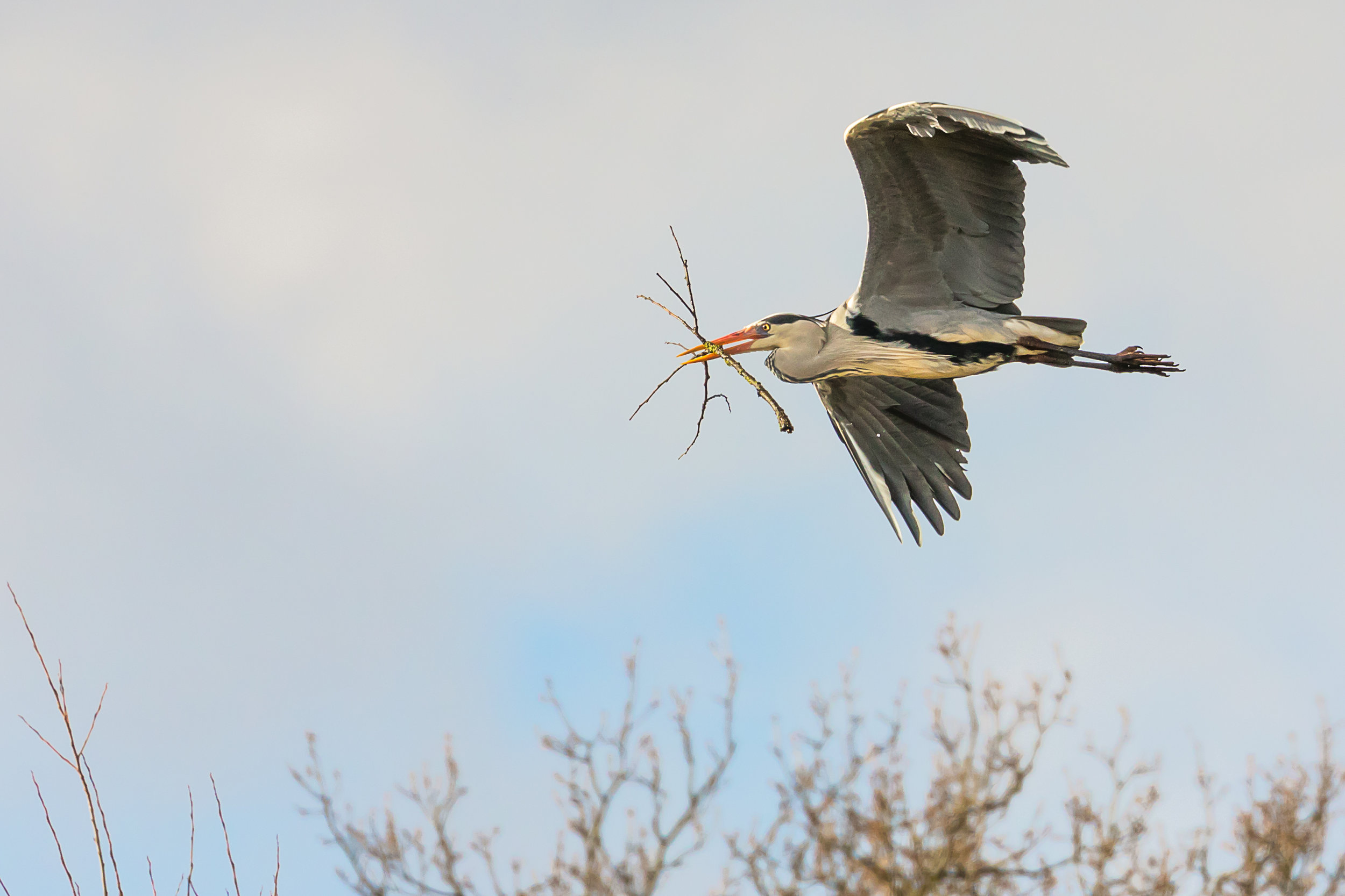 On its way back to the Heronry