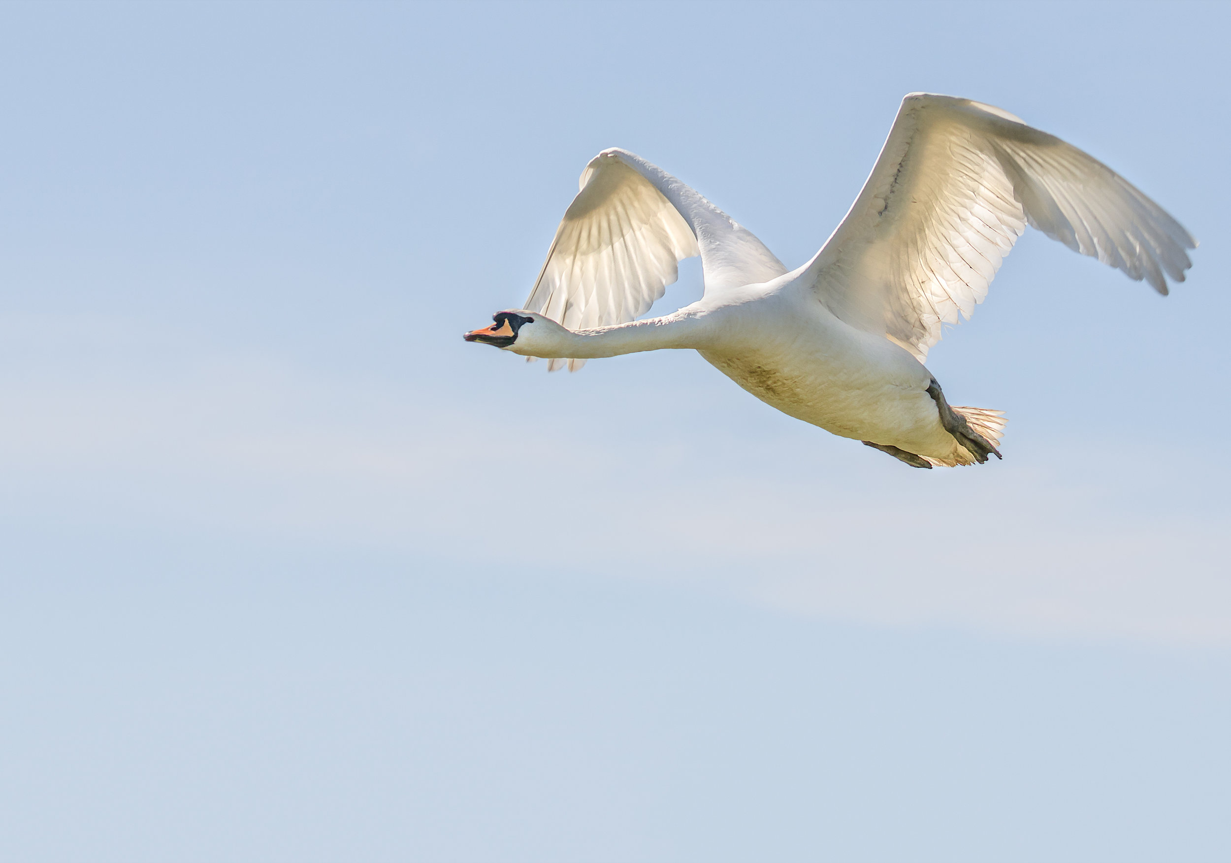 Swan flight in the winter sunlight