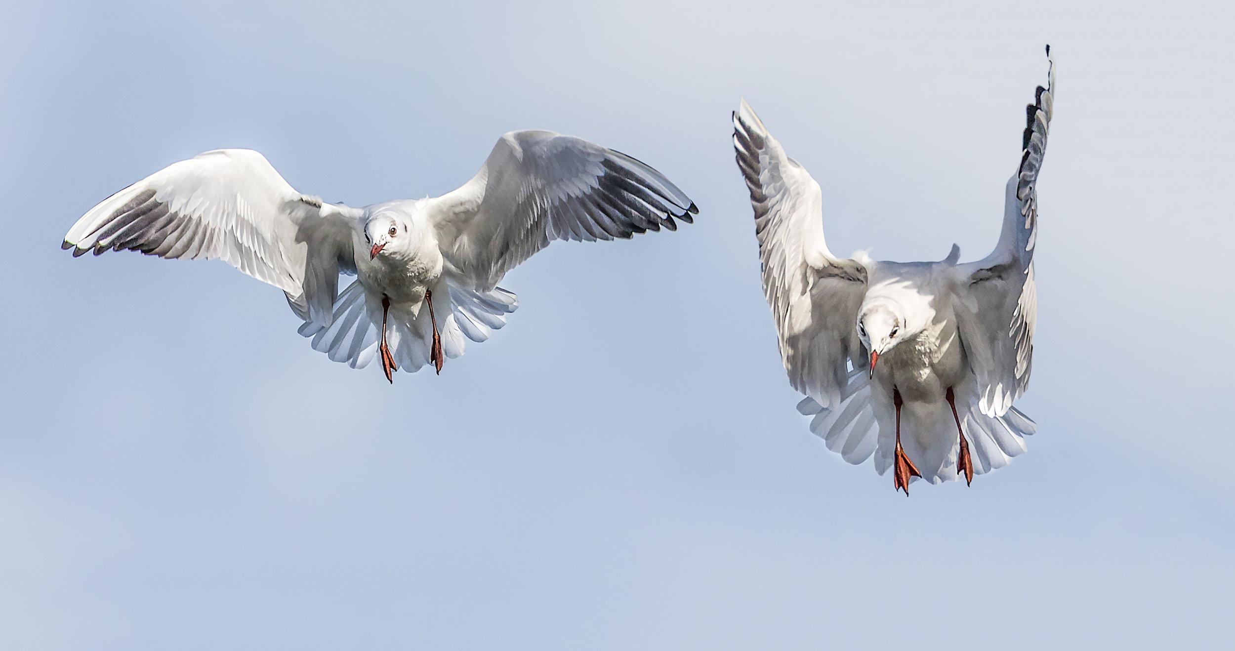 Non breeding adult Black Headed Gulls