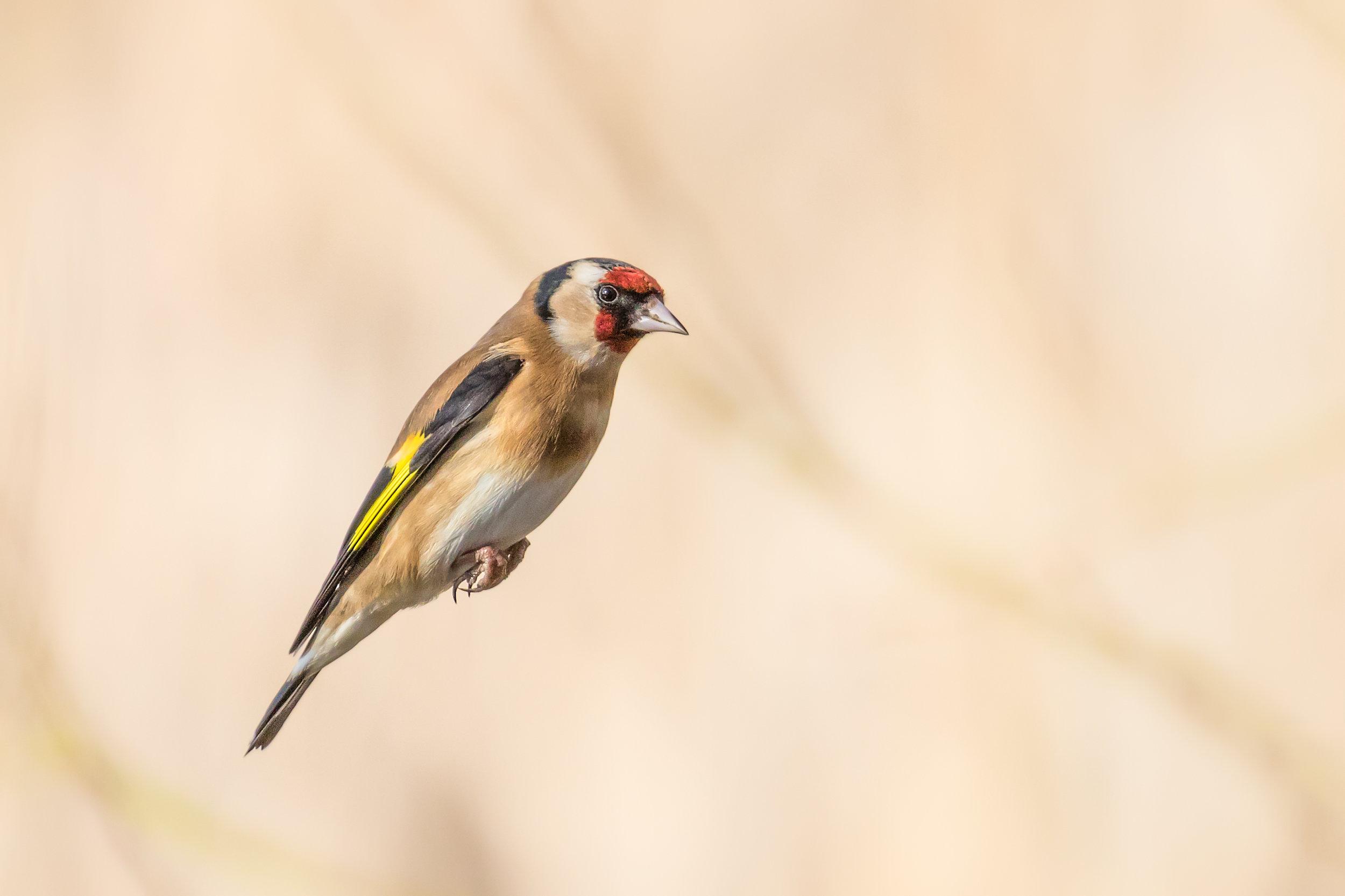 Goldfinch cruising past