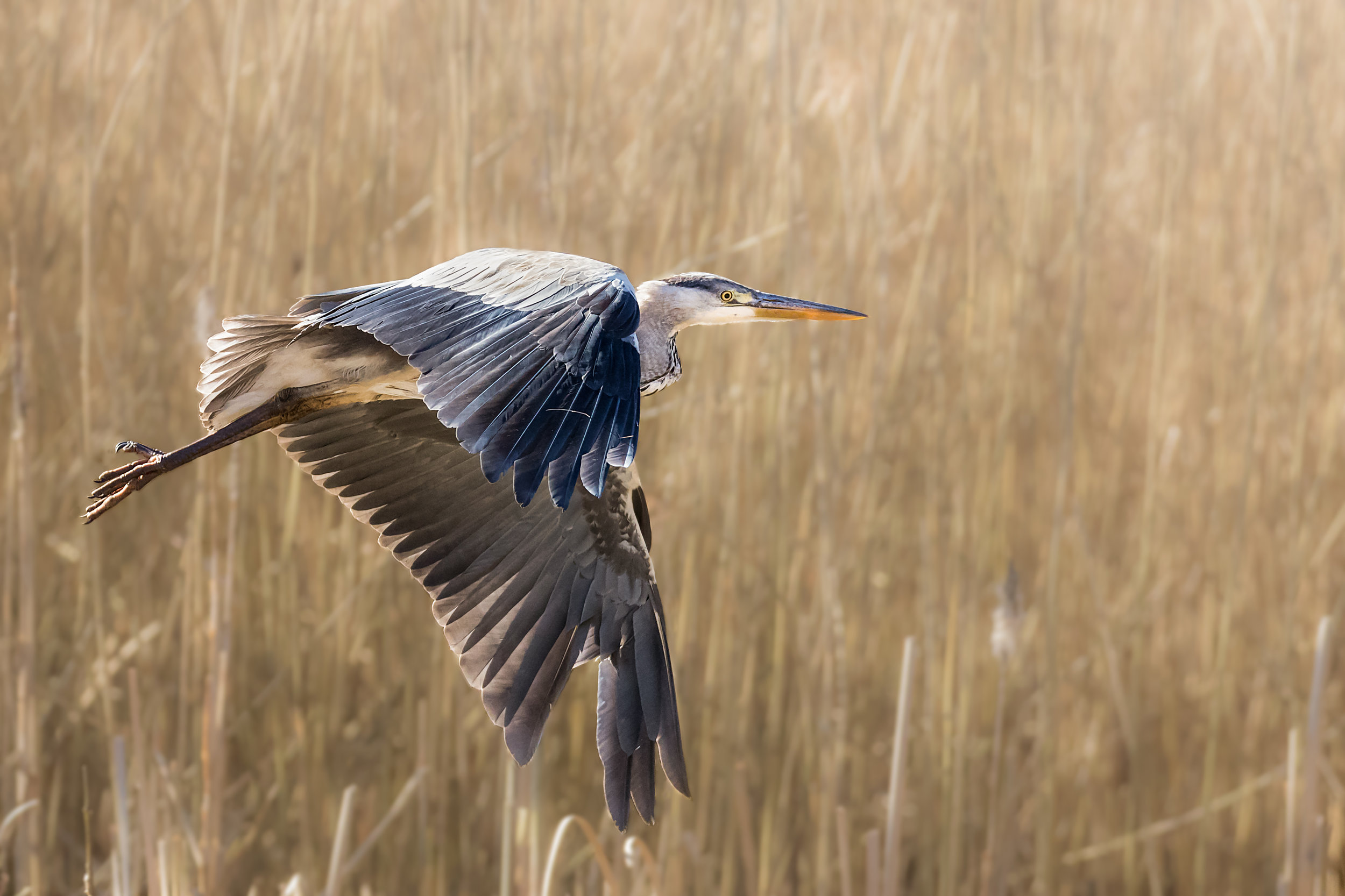 Grey Heron fly past