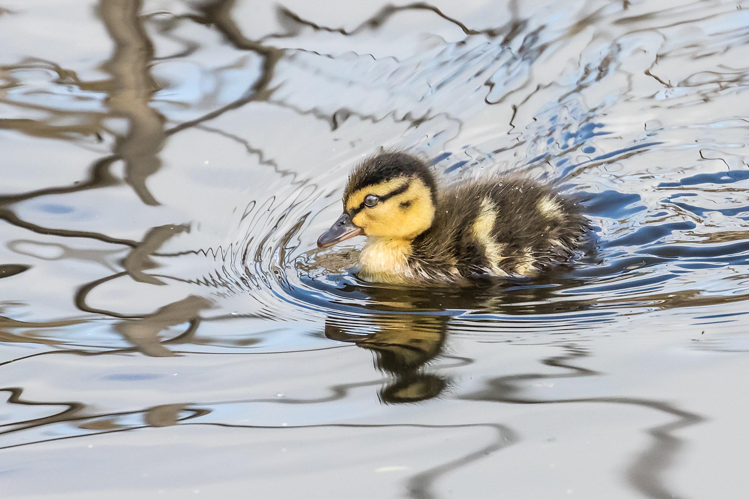 A Mallard chick