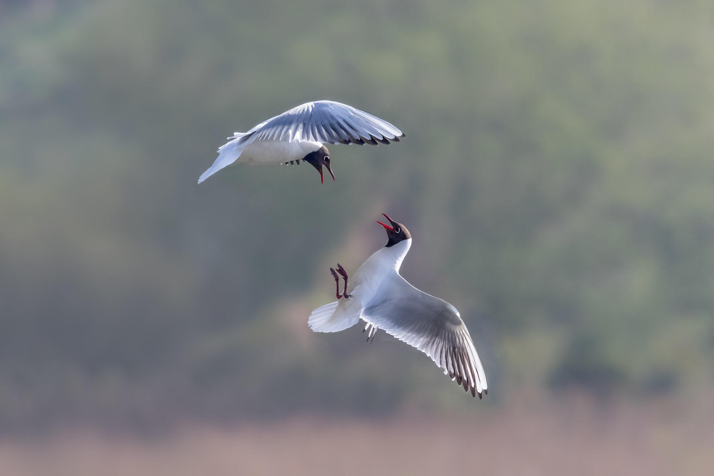 Squabbling in mid flight