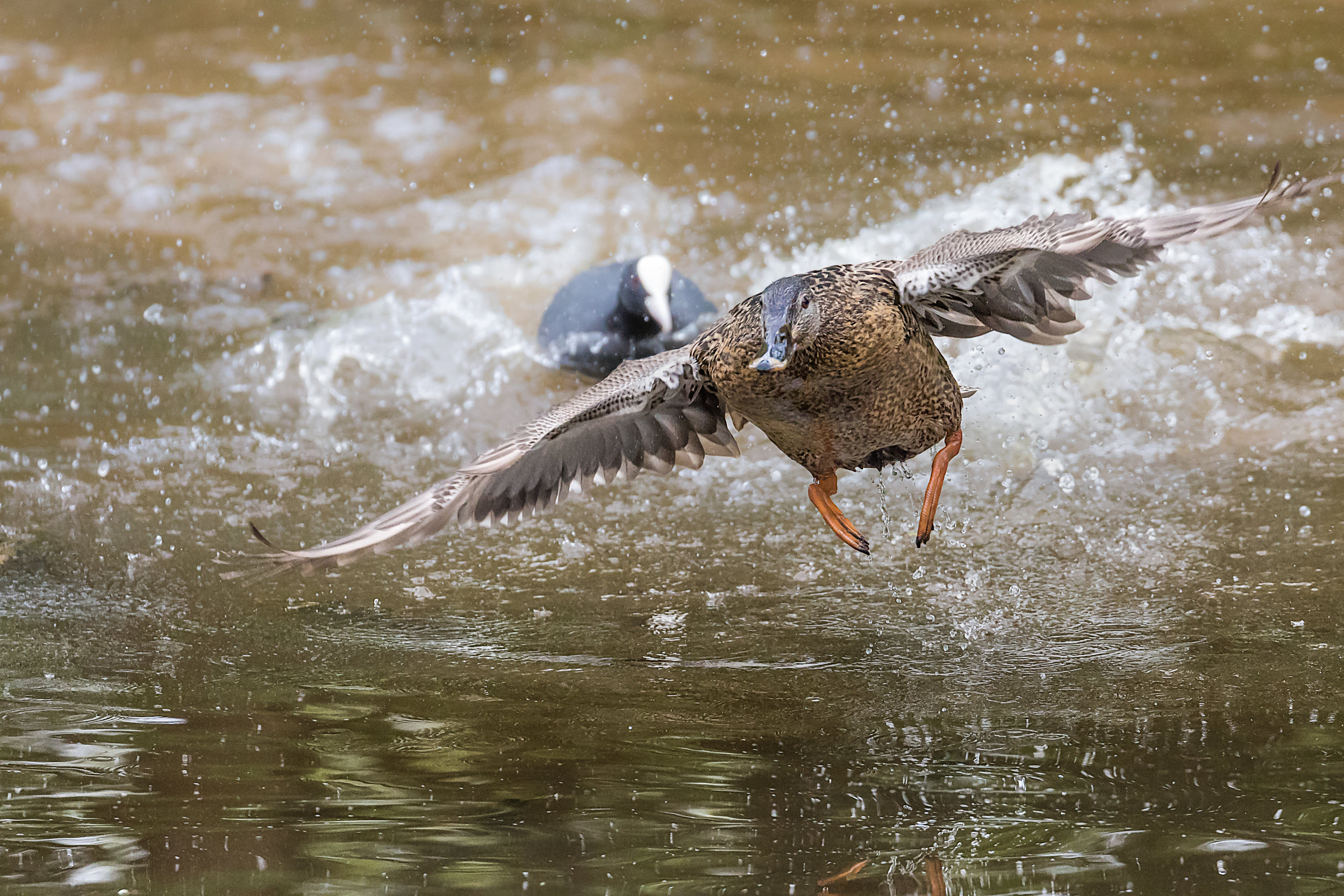 Mallard chased off by a Coot