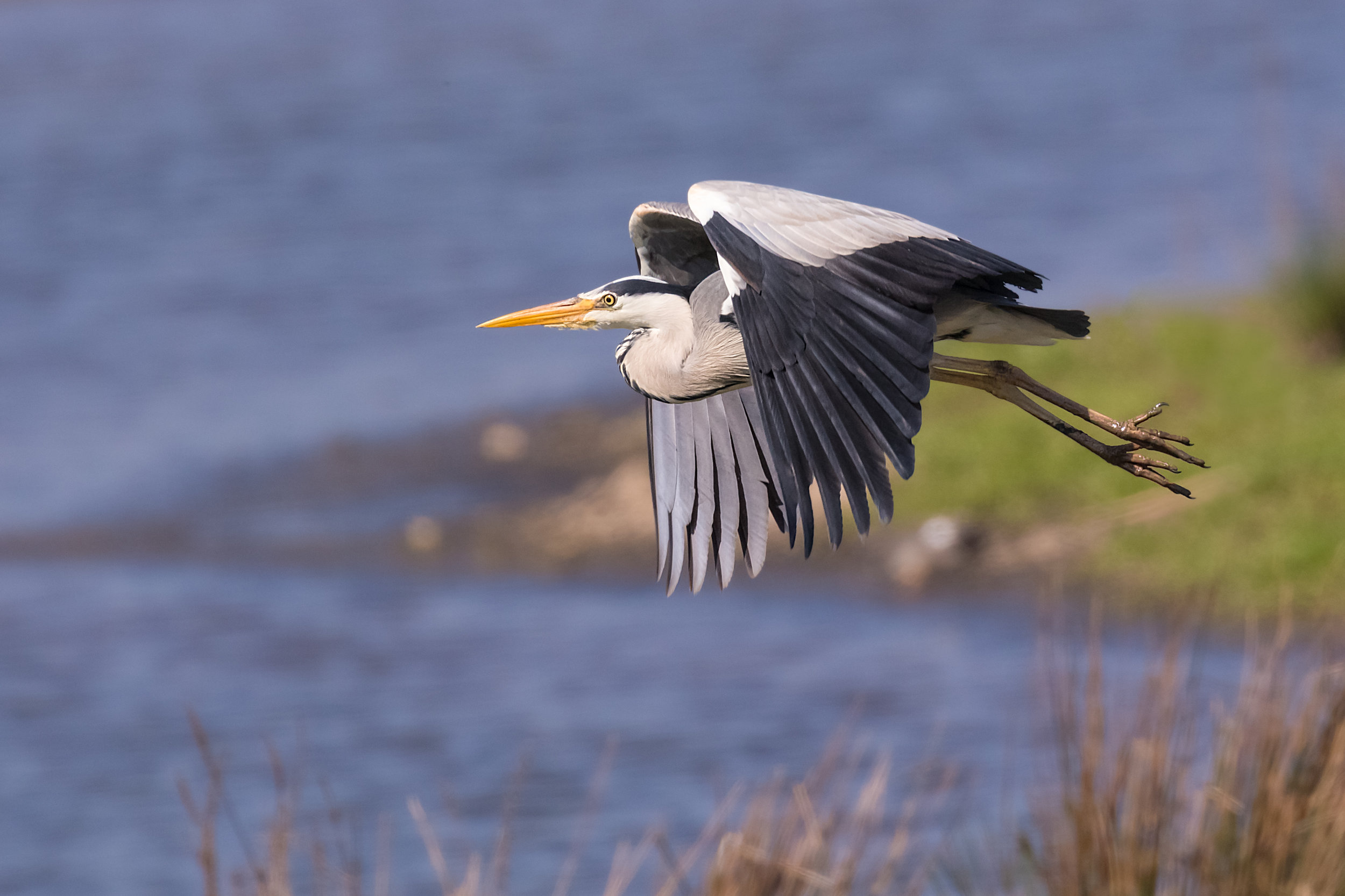 Grey Heron fly past #2