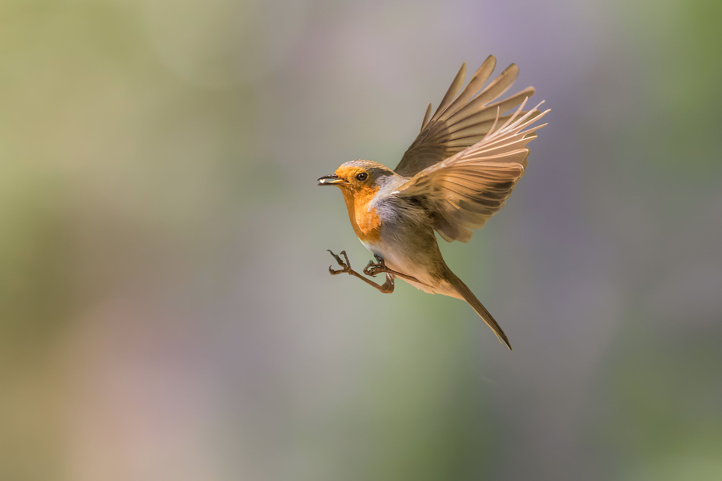 Robin fly past!