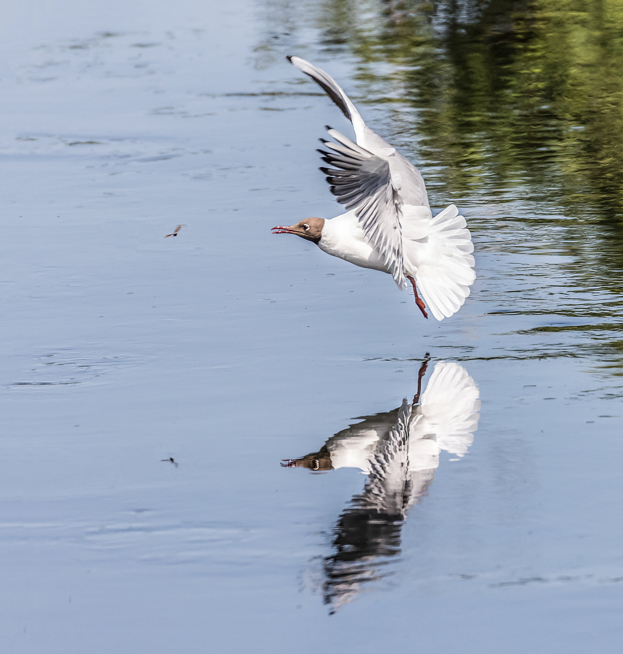 Black Headed Gull chasing an insect