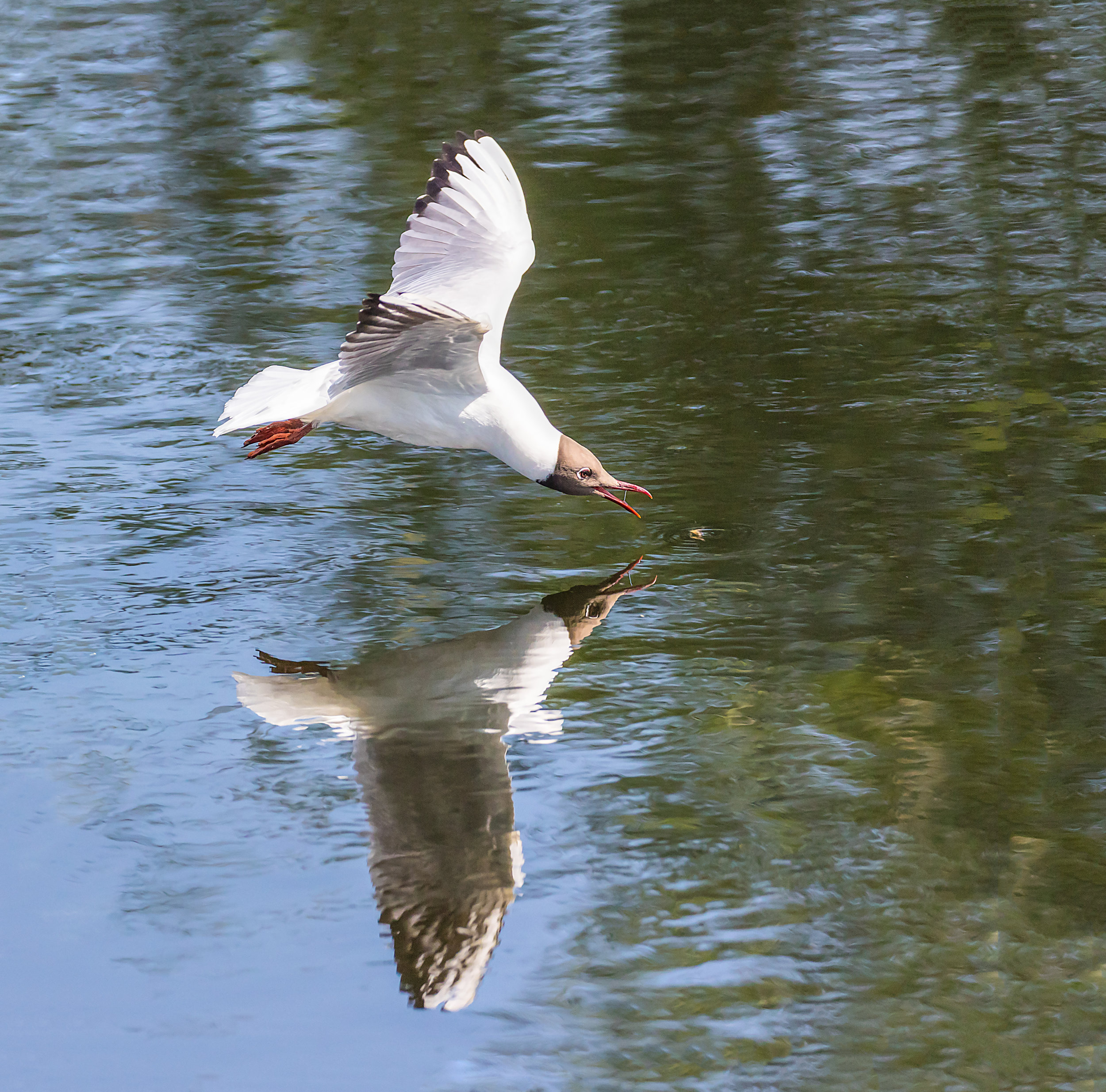 Black Headed Gull going for an insect