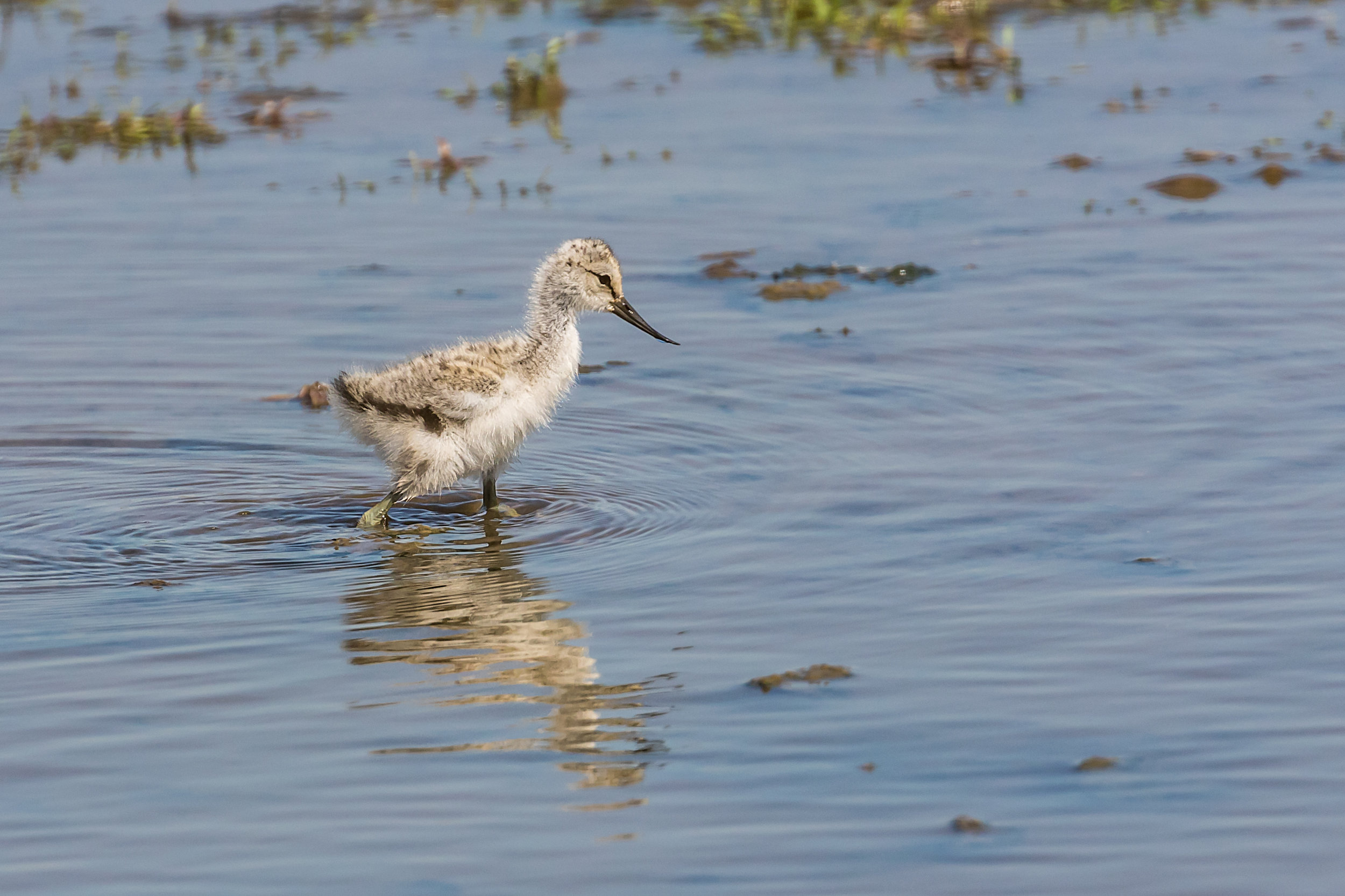 An Avocet chick