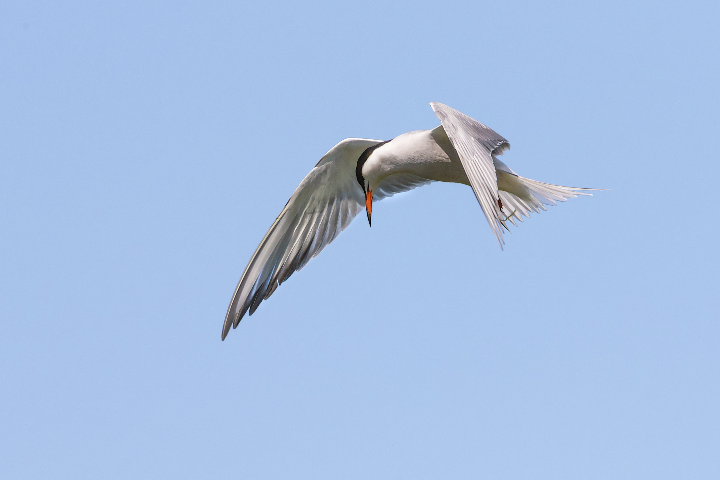 Common Tern looking out for fish below