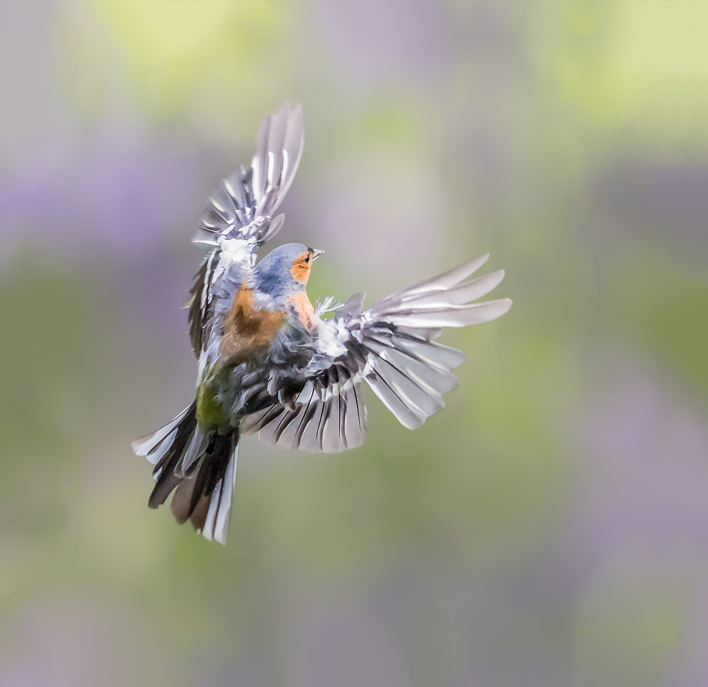 Chaffinch wing display