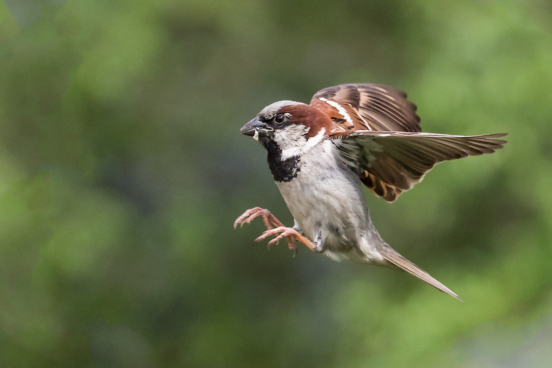 Male Sparrow in a hurry!