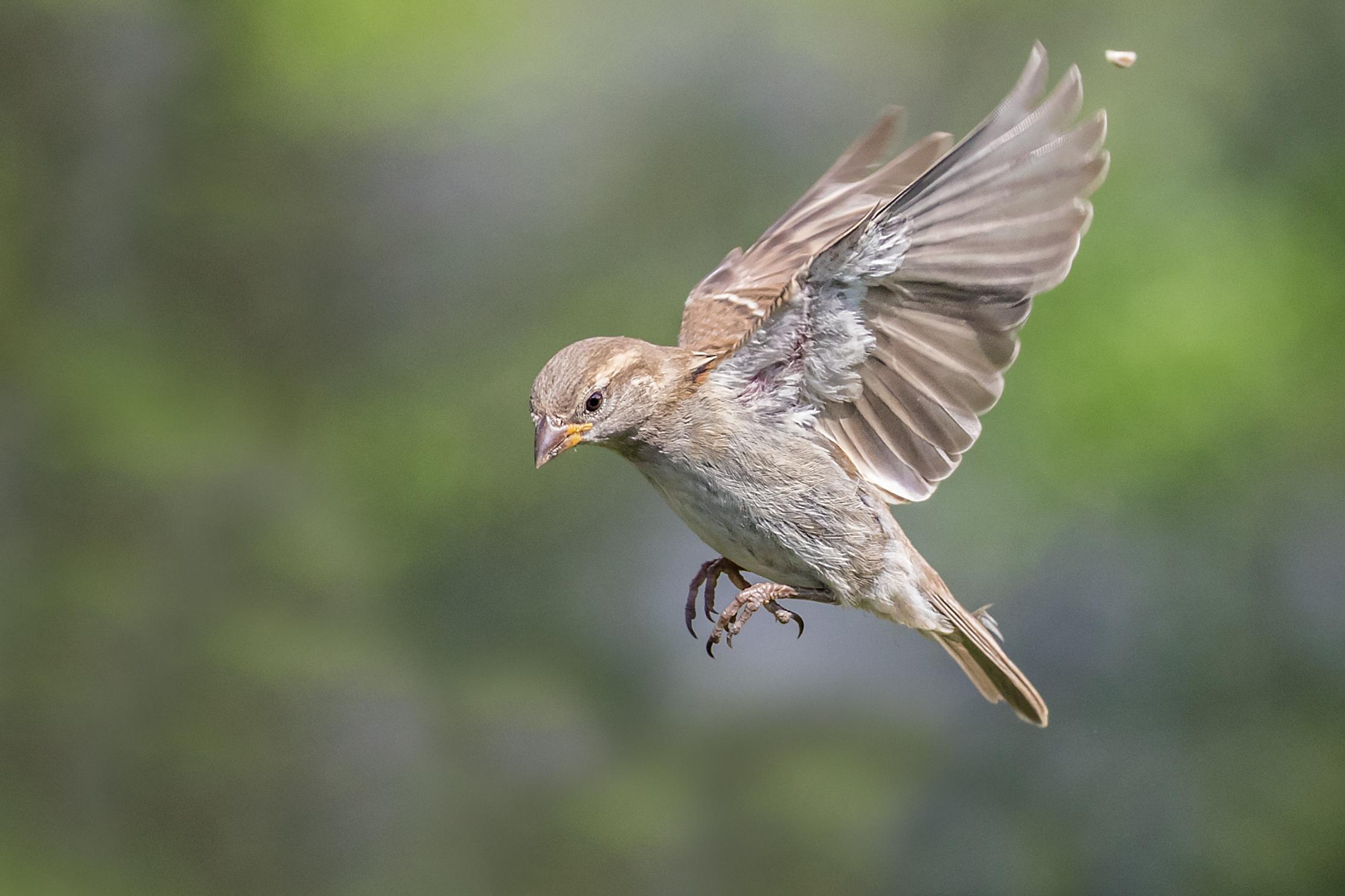 Female Sparrow preparing to land