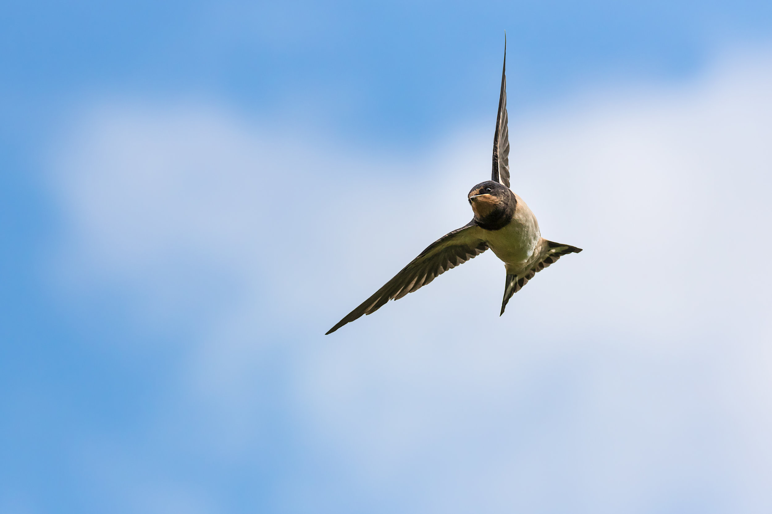 Young Swallow #2