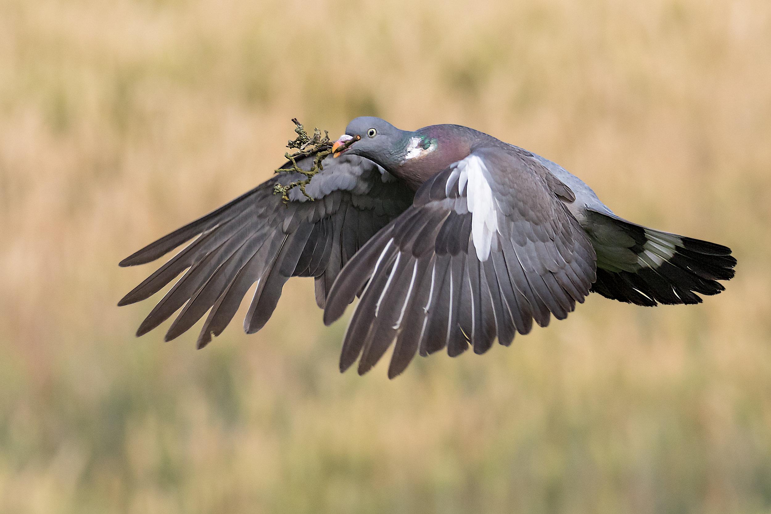 Wood (Peace) Pigeon #1