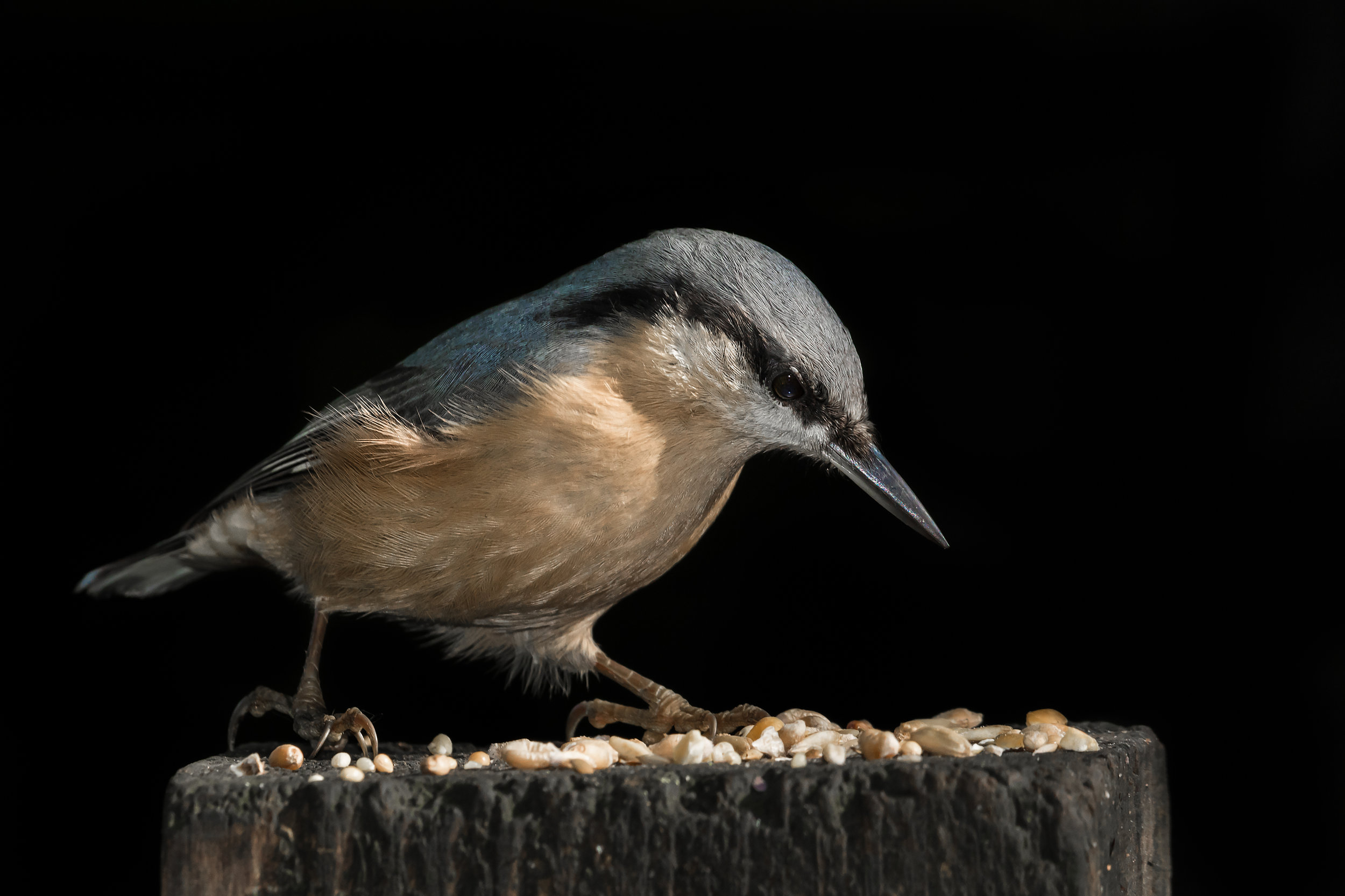 Nuthatch portrait #3