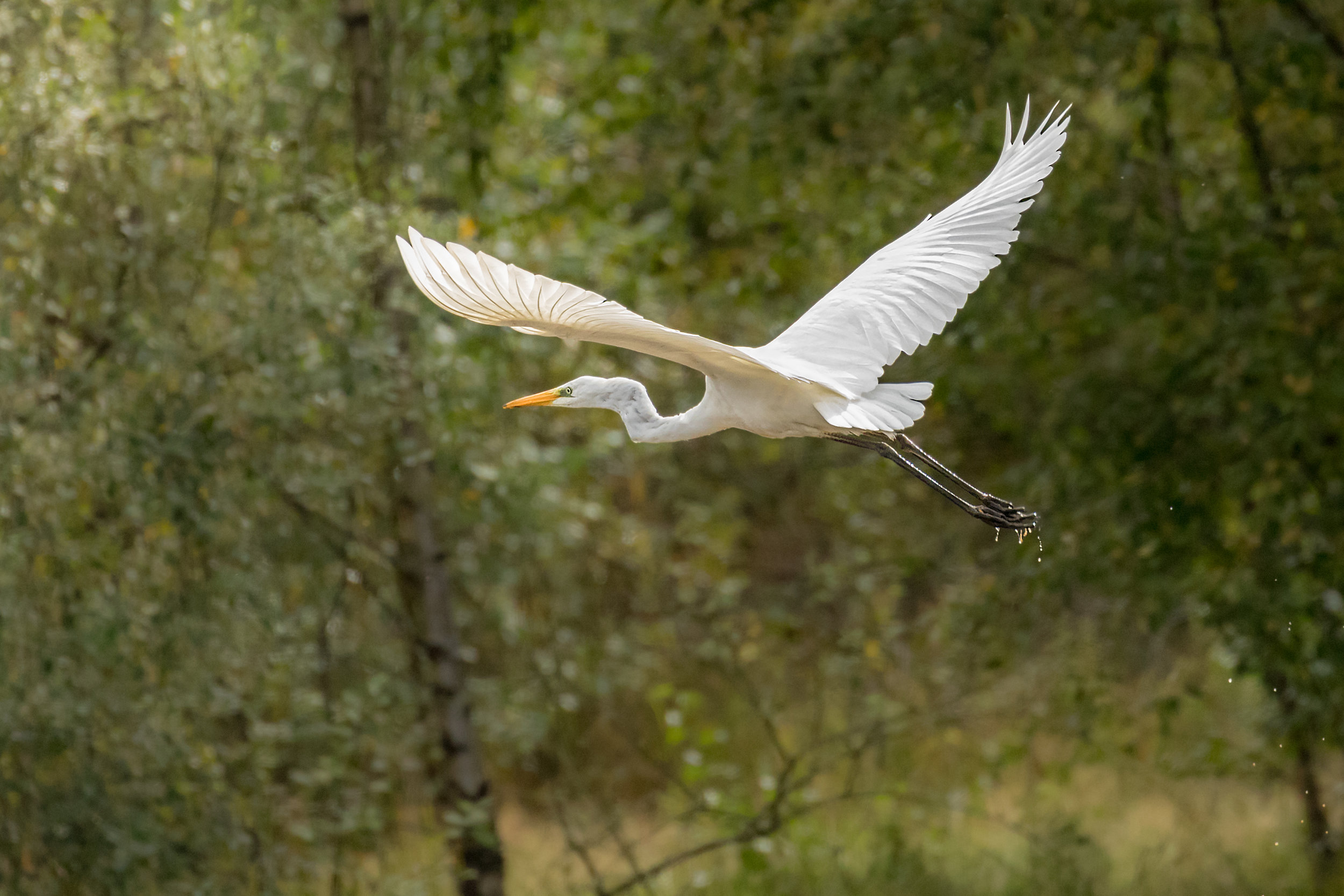 Great White Egret (at last!)