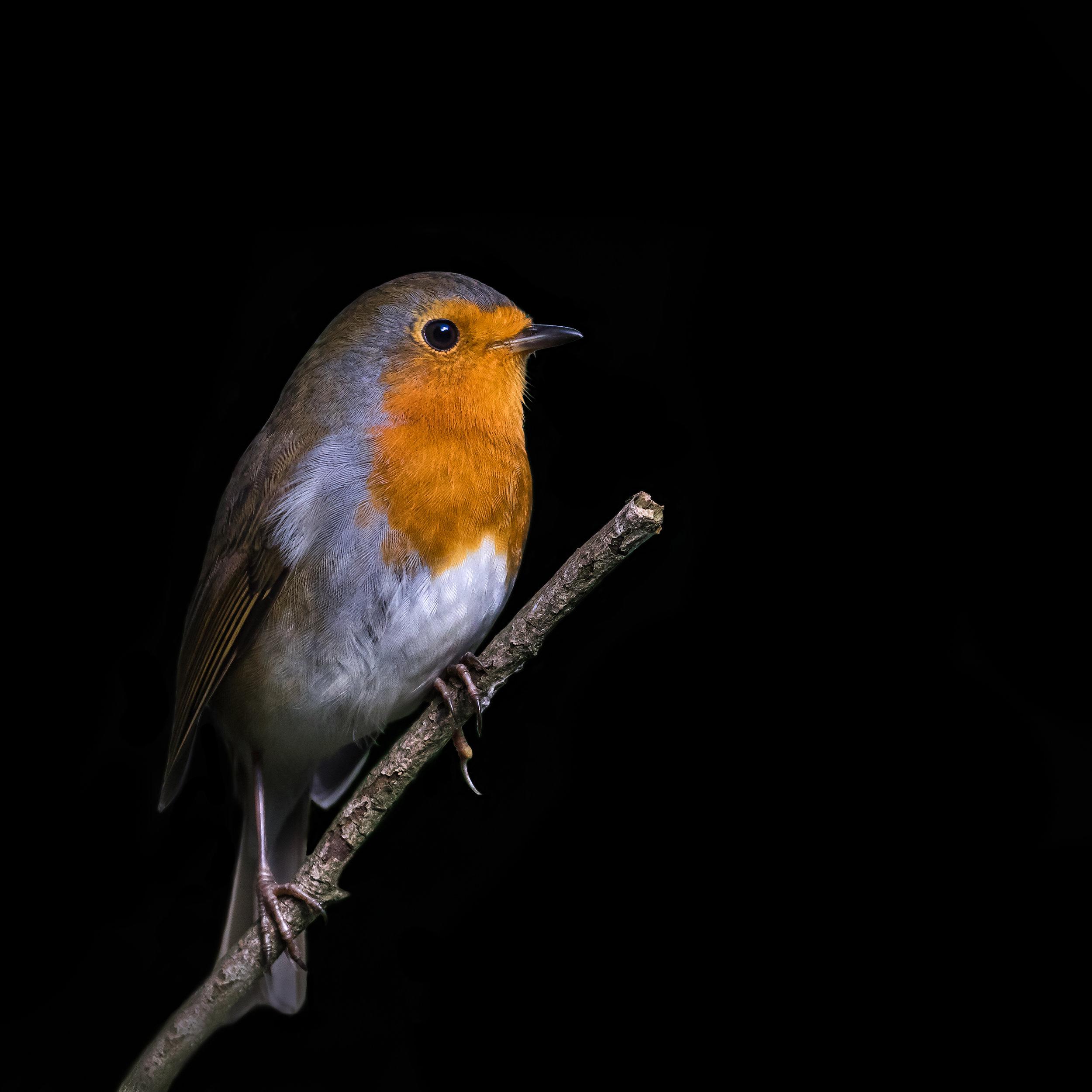 Robin portrait #1