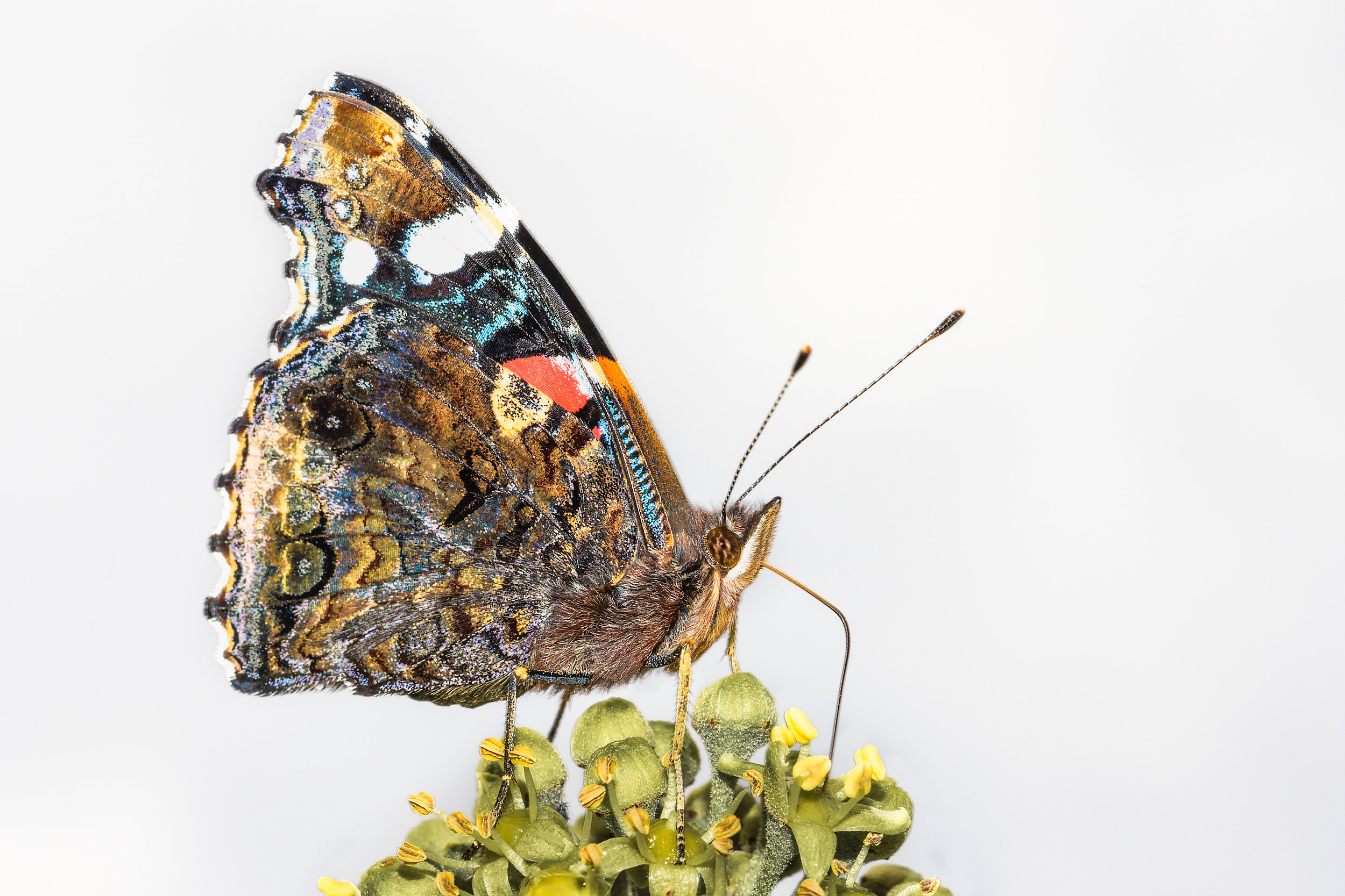 Red Admiral on ivy flower