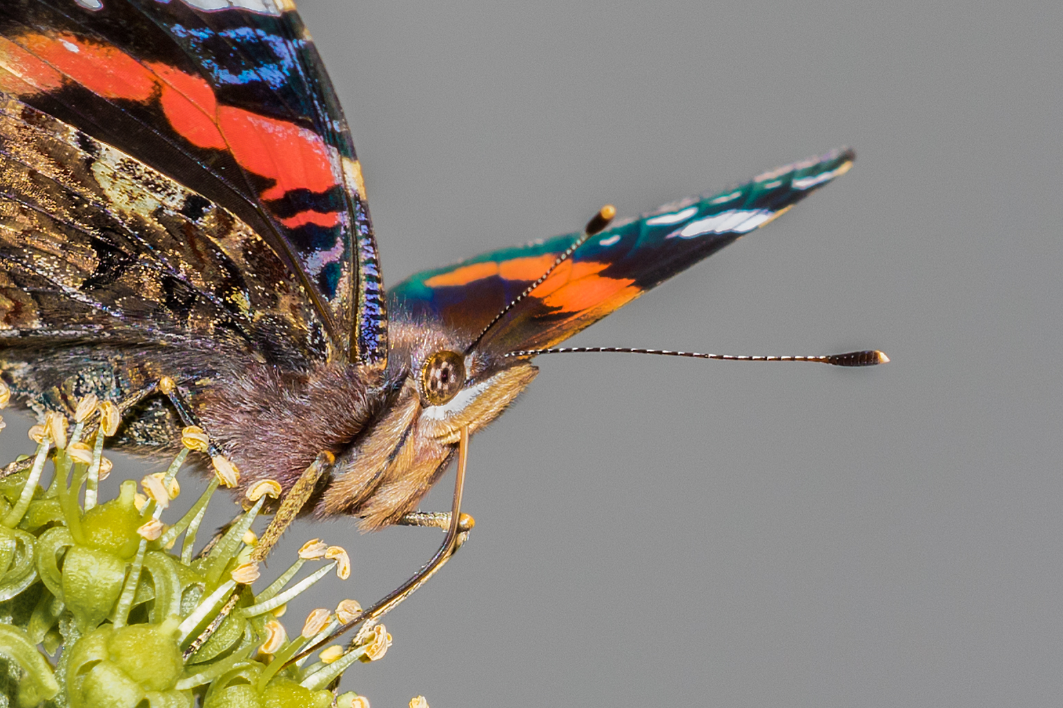 Red Admiral macro #1