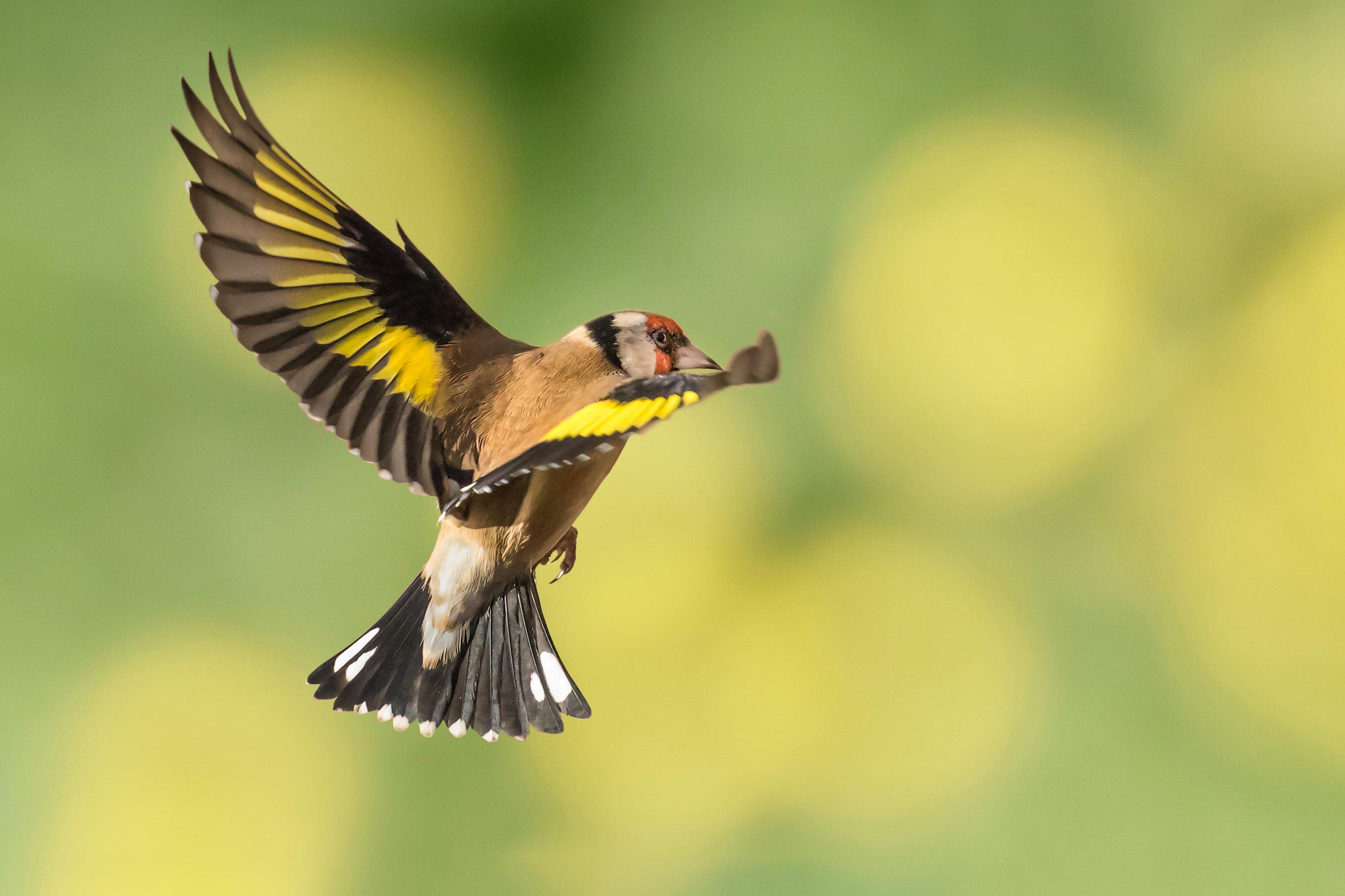 Goldfinch beauty